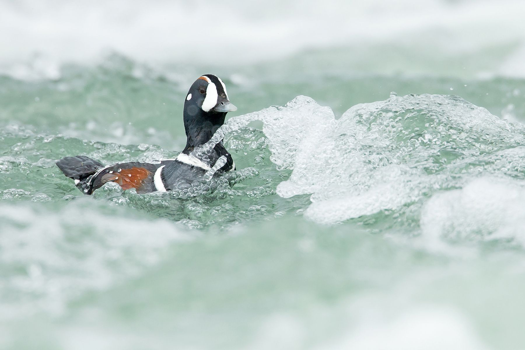 Iceland photography tour: Harlequin Duck by Mike Watson