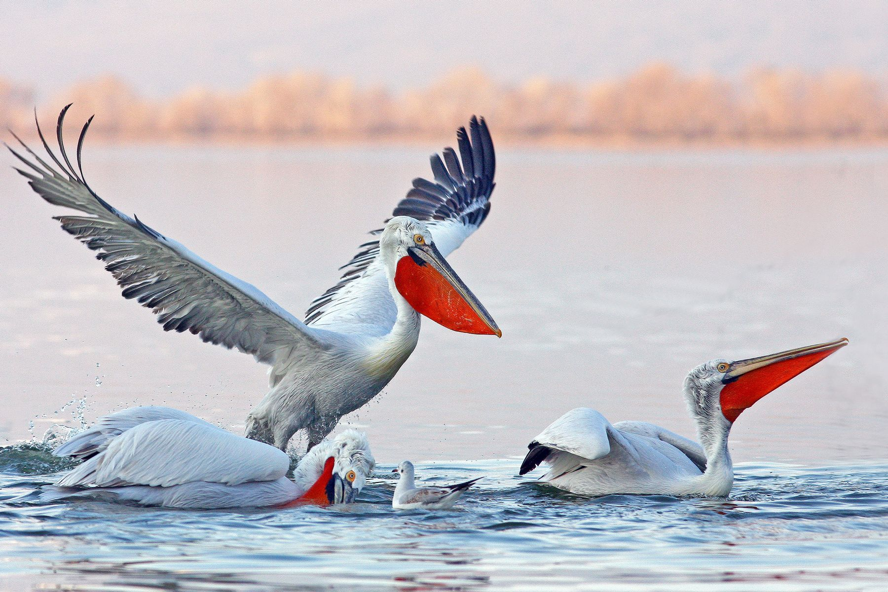 These Dalmatian Pelicans are showing the bright red bill pouches of breeding birds in the Danube Delta