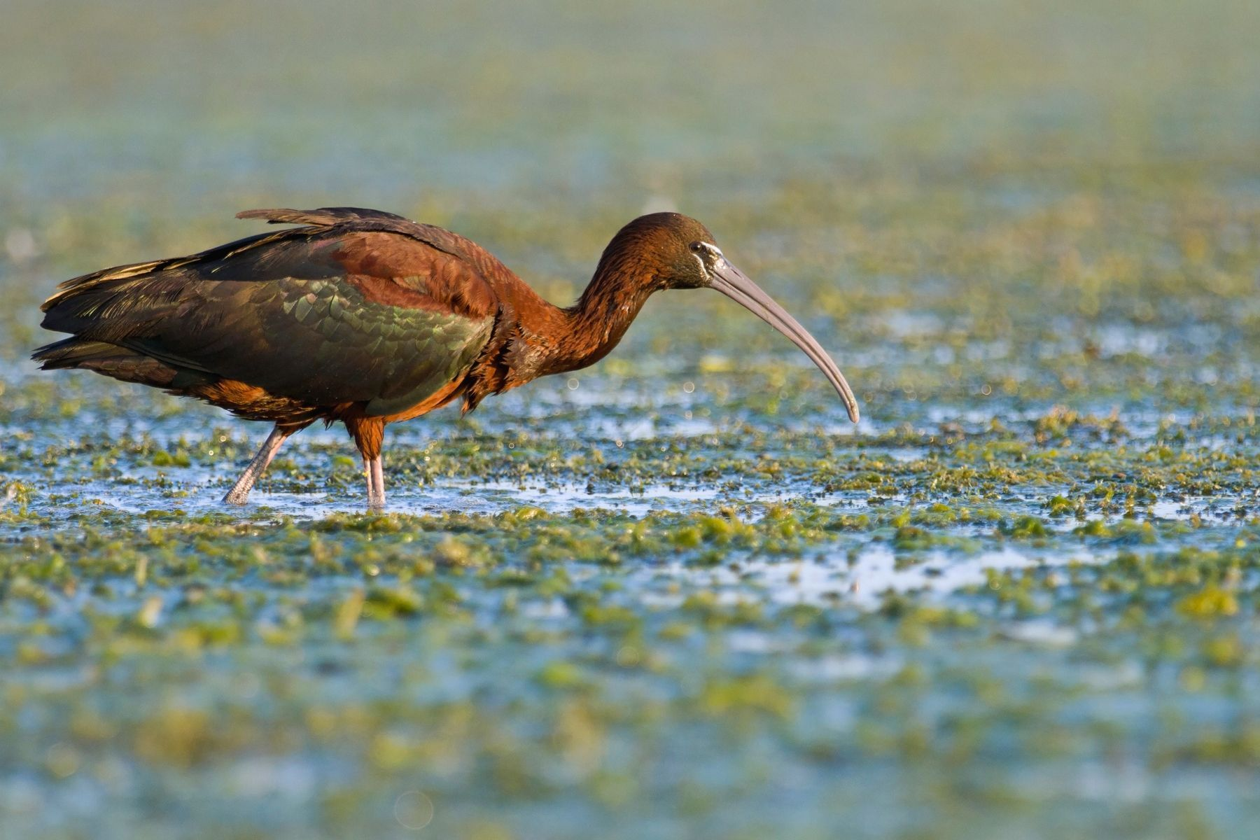 The Glossy Ibis is a characteristic bird of Romania's Danube Delta