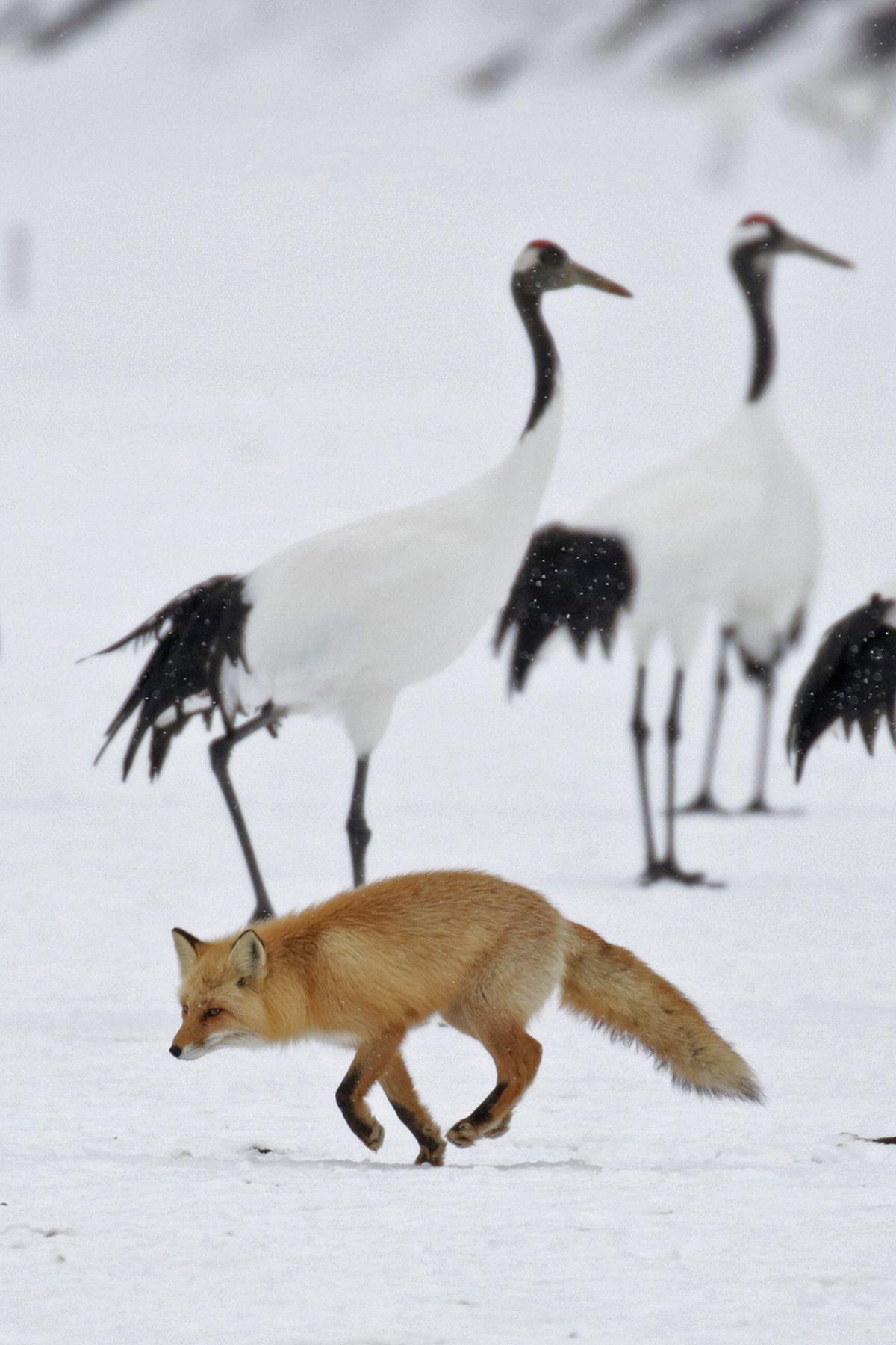 A Red Fox runs through a flock of Japanese Cranes