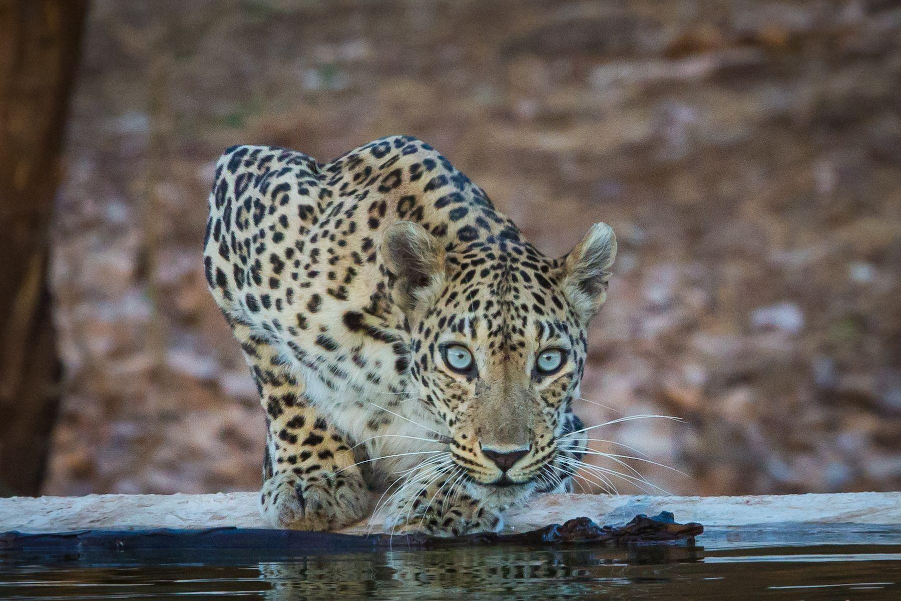 A Leopard drinking in Gir Forest, Gujarat
