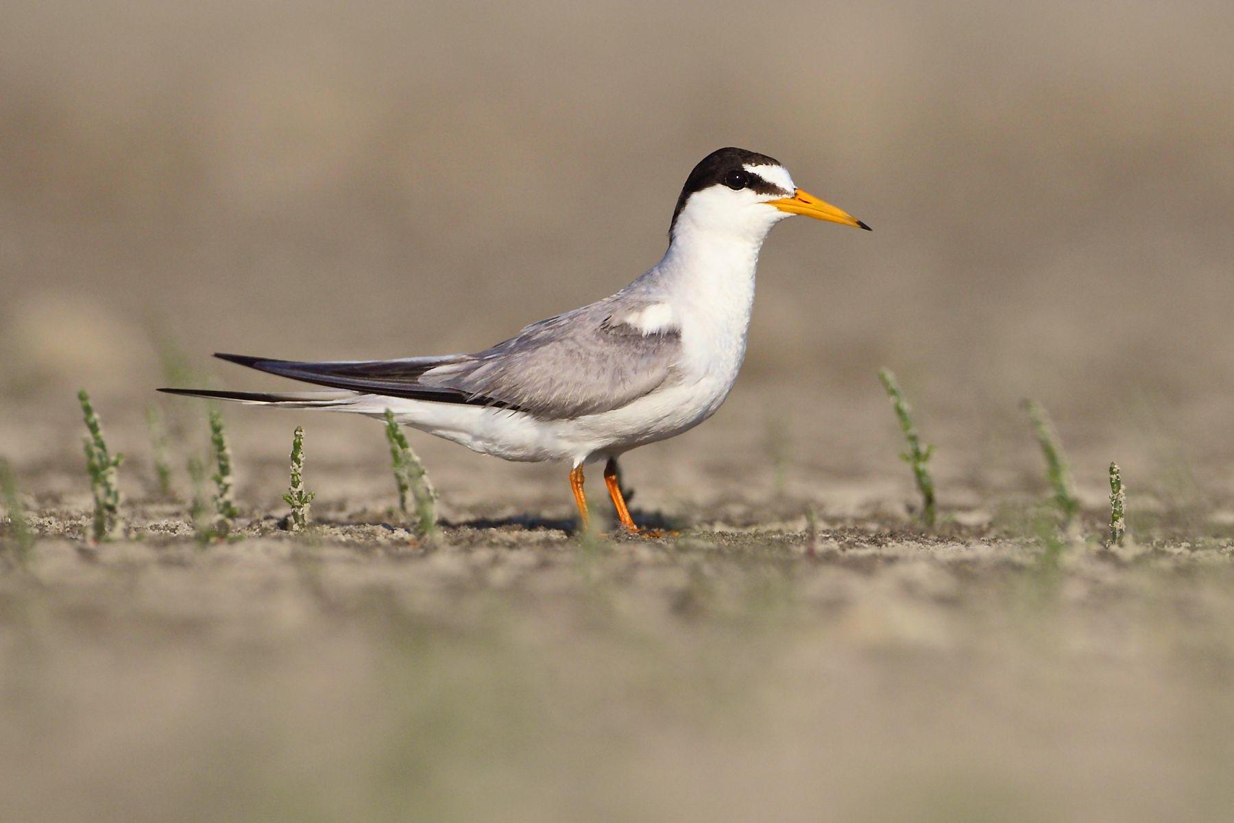 Little Tern at the Danube Delta