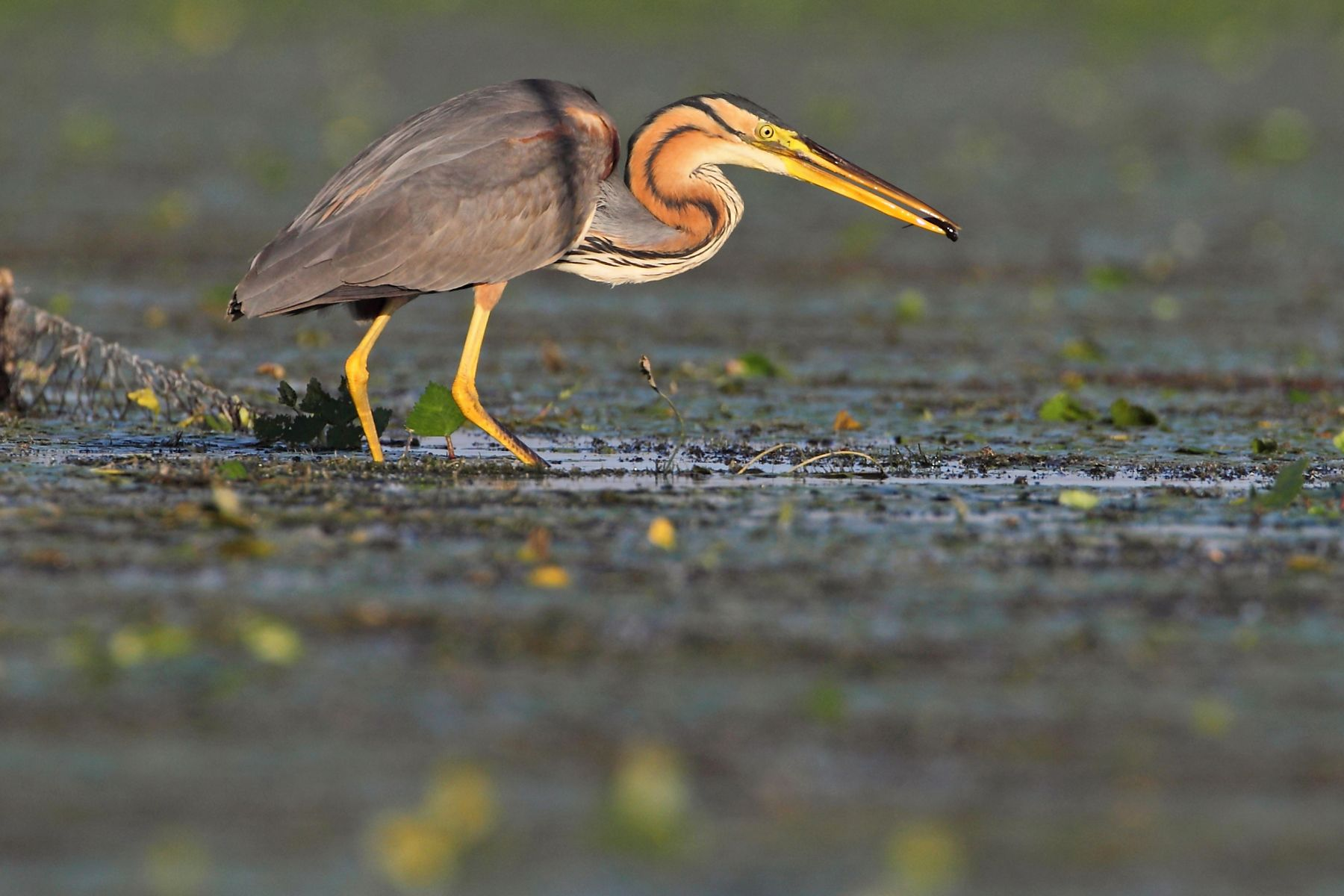 A Purple Heron searches for prey in the late afternoon