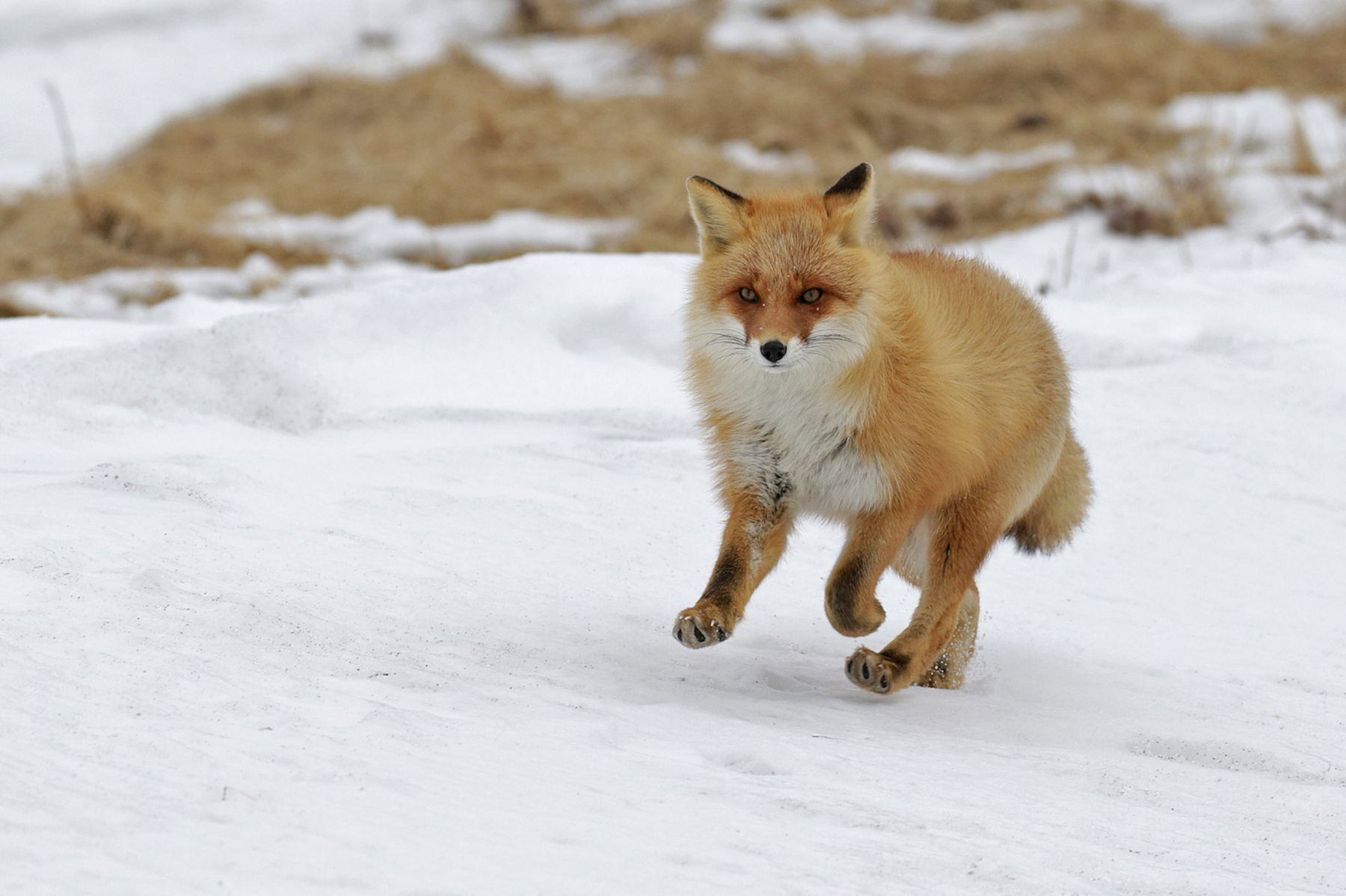 Running Red Fox