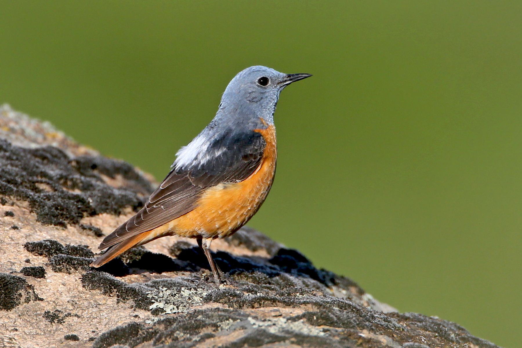 A handsome male Common Rock Thrush