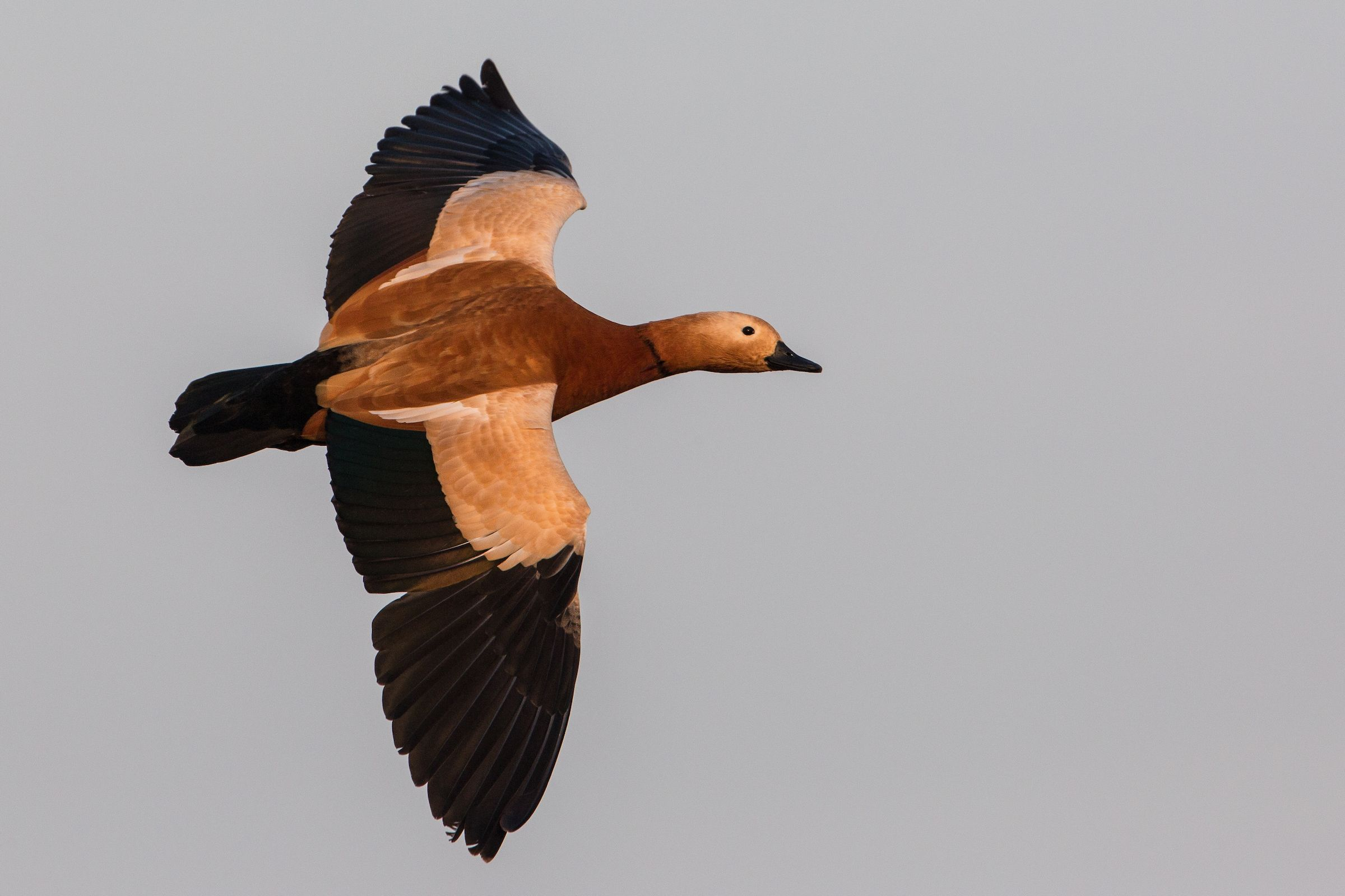 A Ruddy Shelduck in flight over the Chambal River in Uttar Pradesh, India