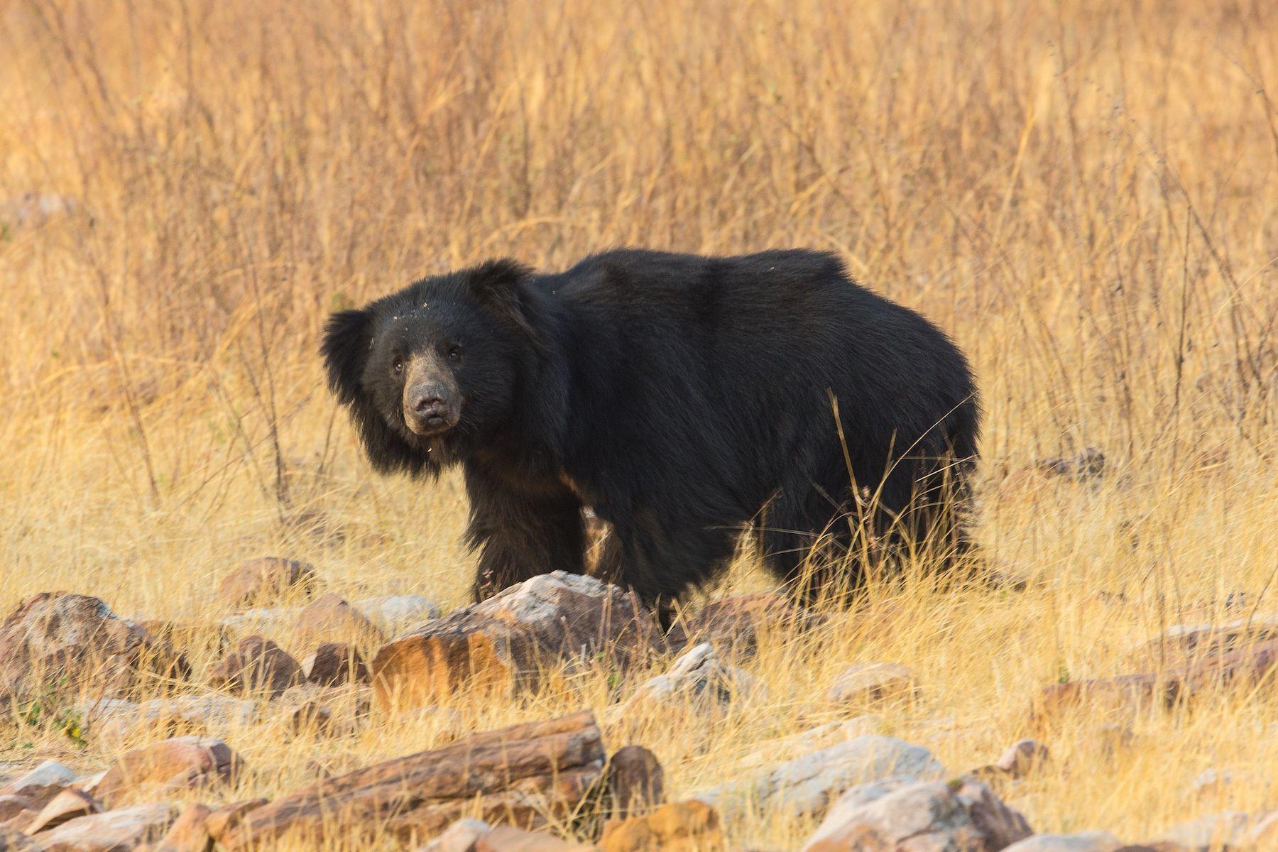 Sloth Bear: Photography tours by Inger Vandyke