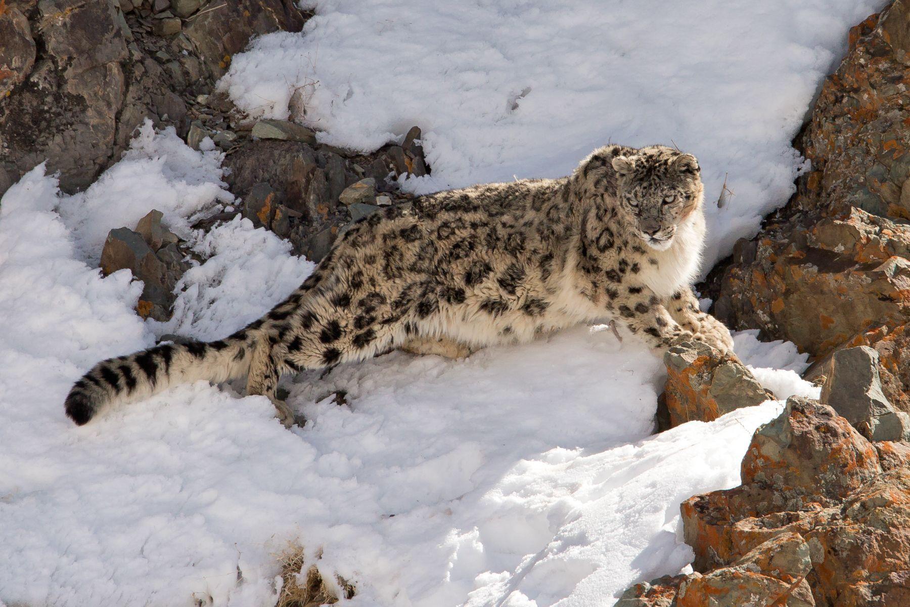 Le Snow Leopard Best 2017
