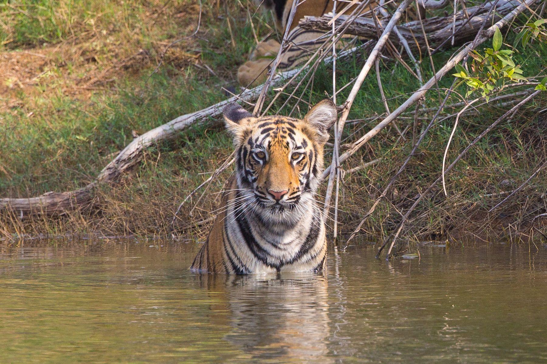 Bathing Tiger cub at Tadoba Andhari