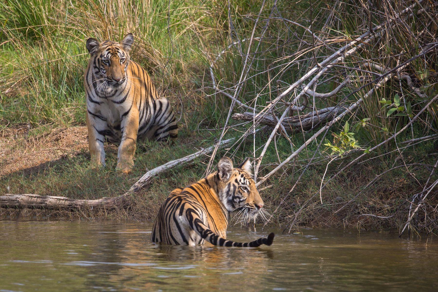 Bathing Tiger cubs in Tadoba Andhari Tiger Reserve, Maharashtra, India