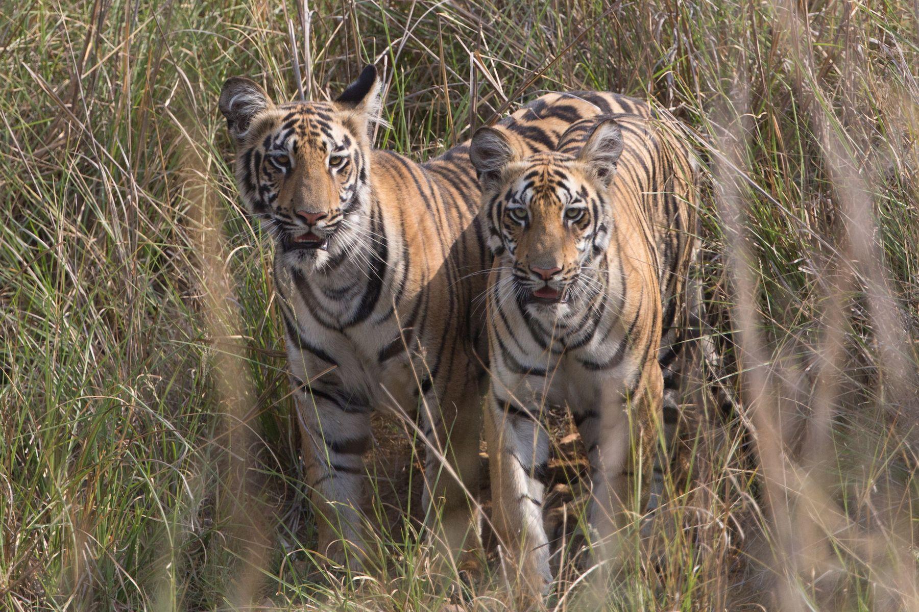 Tadoba Tigers