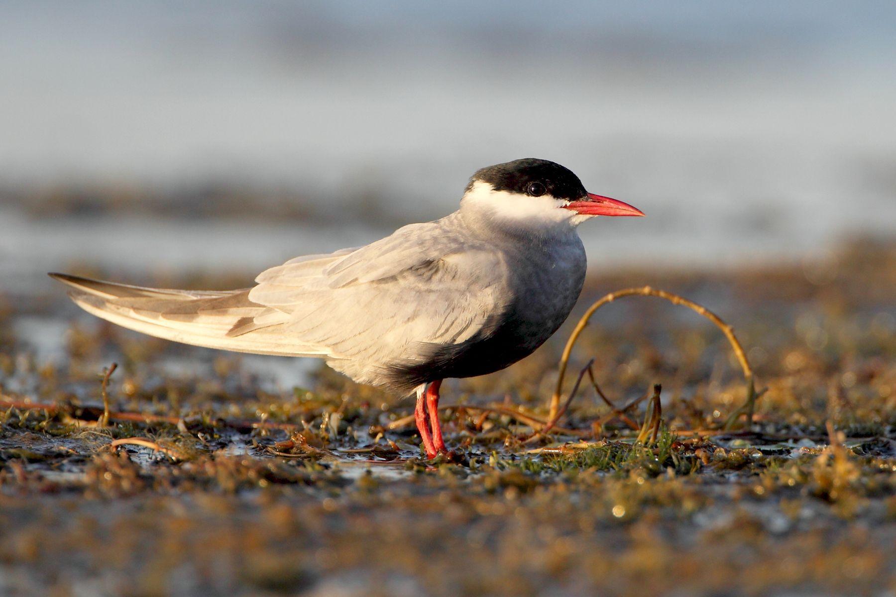 Resting Whiskered Tern