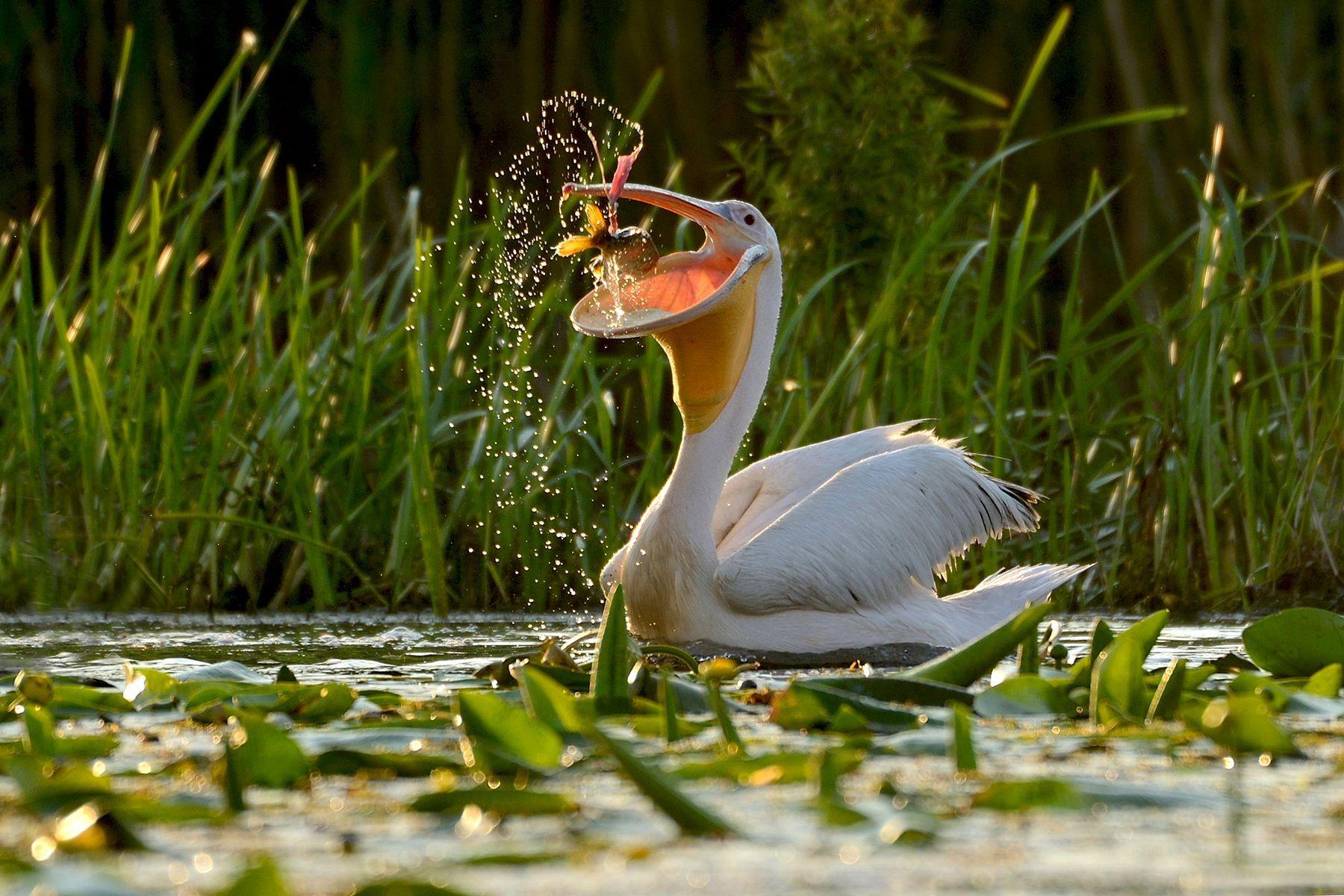 A White Pelican catches a fish in the Danube Delta