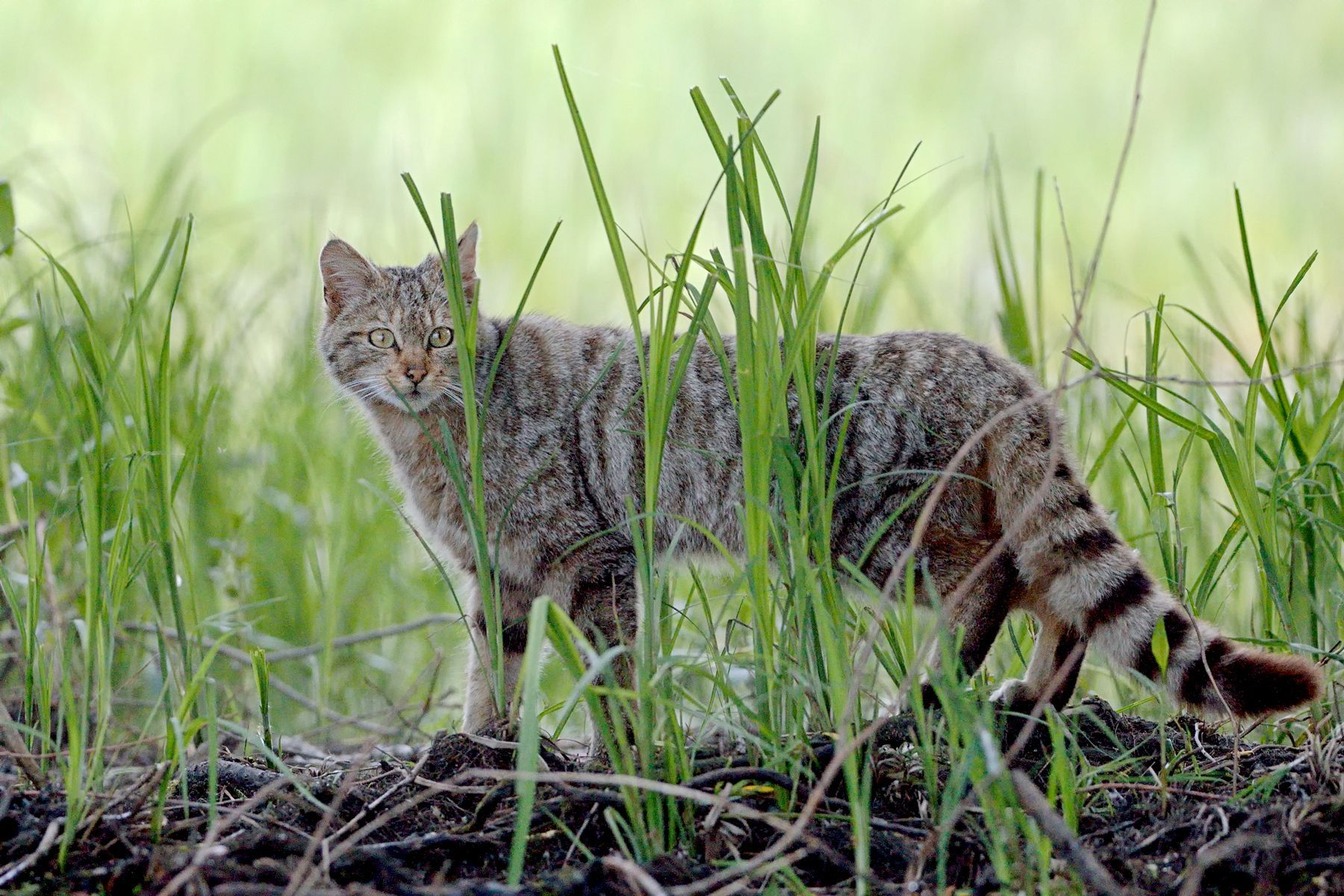 The shy Wild Cat. This one is most likely a female
