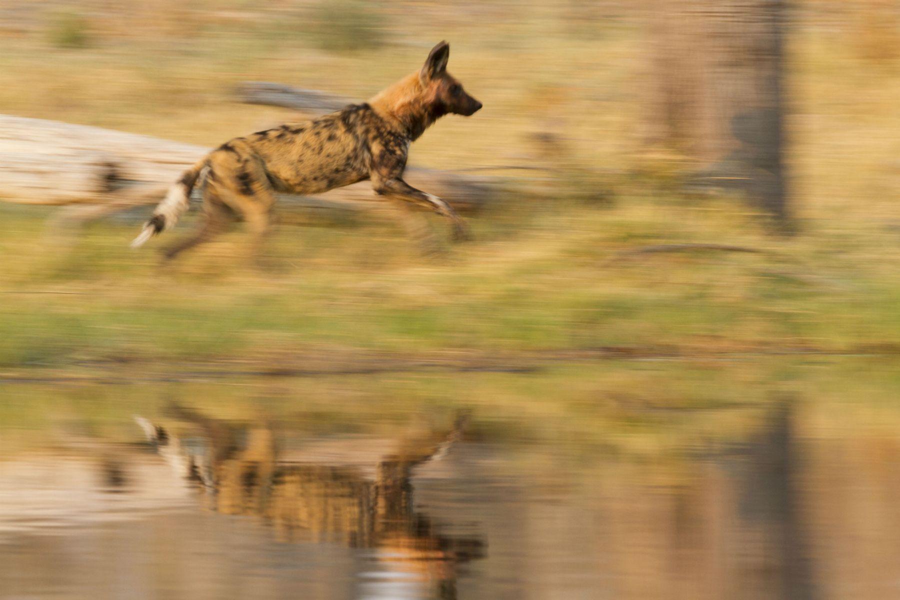 Wild Dogs on the run in Botswana