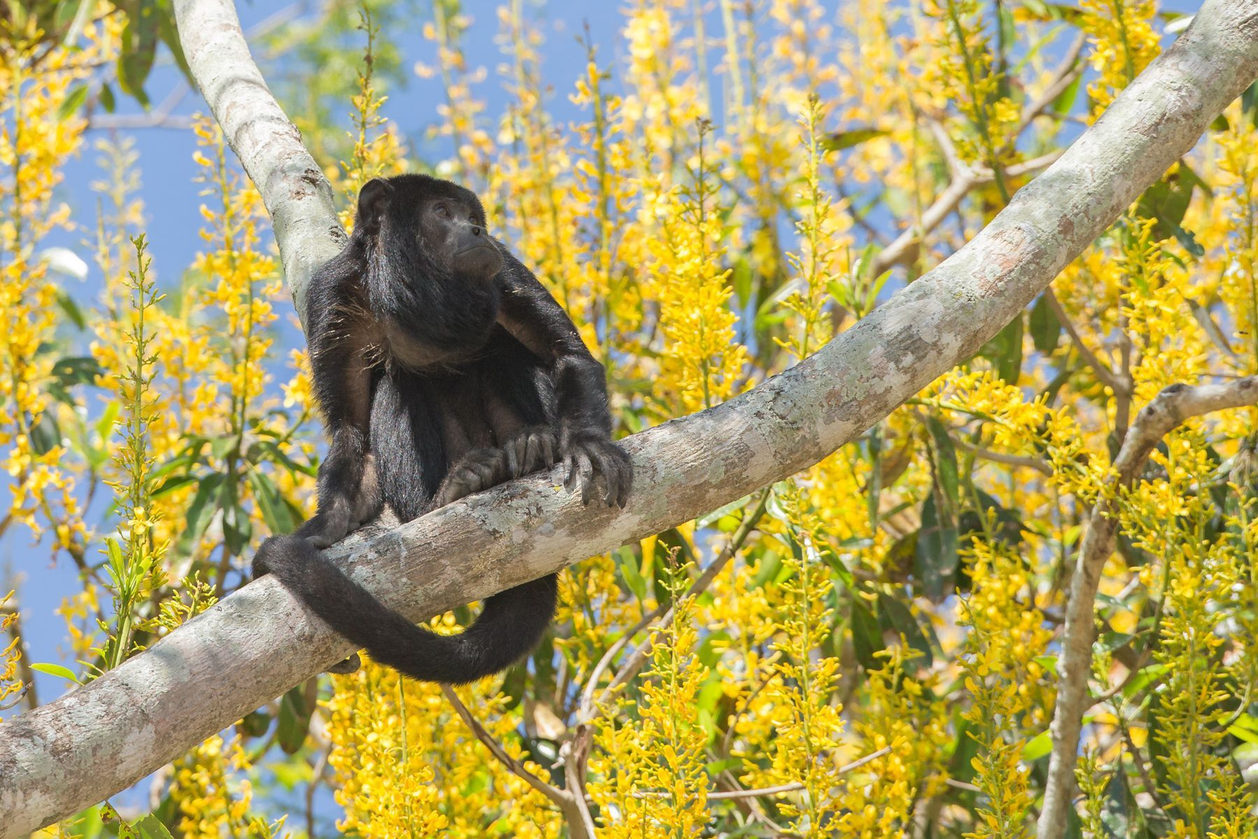 Black Howler Monkeys make quite a racket at dawn and dusk