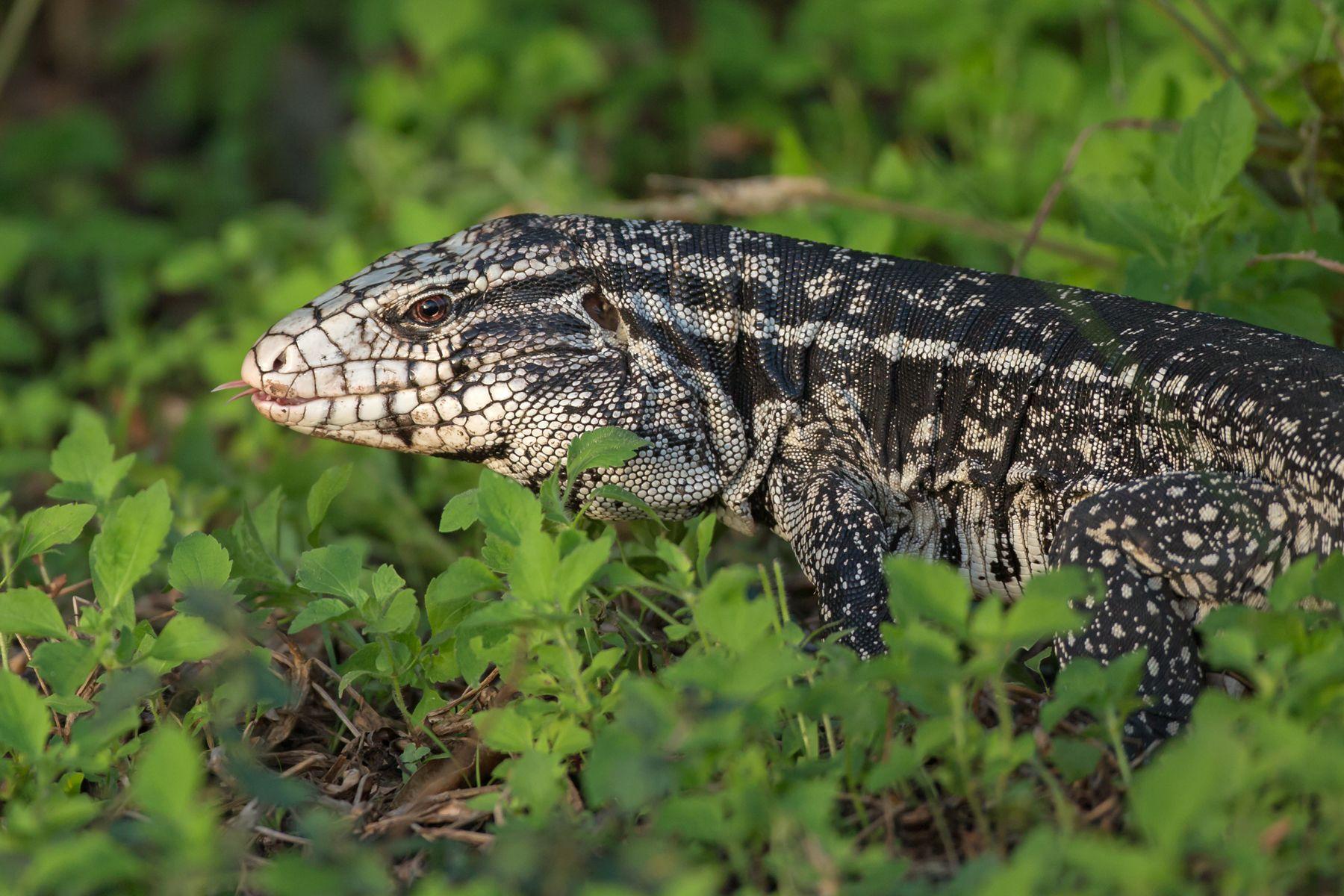 The huge Black-and-white Tegu lizard