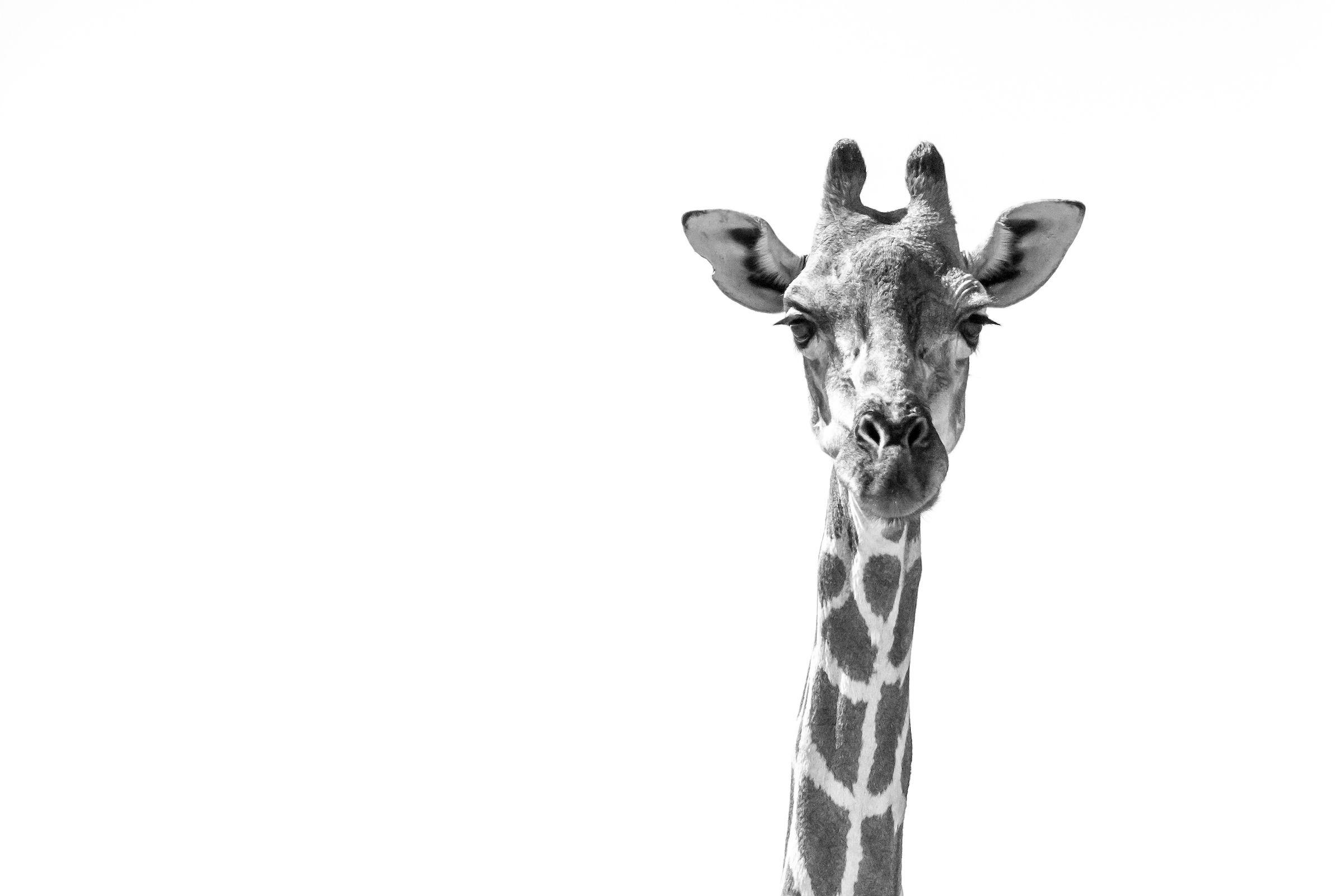 A giraffe portrait from Etosha