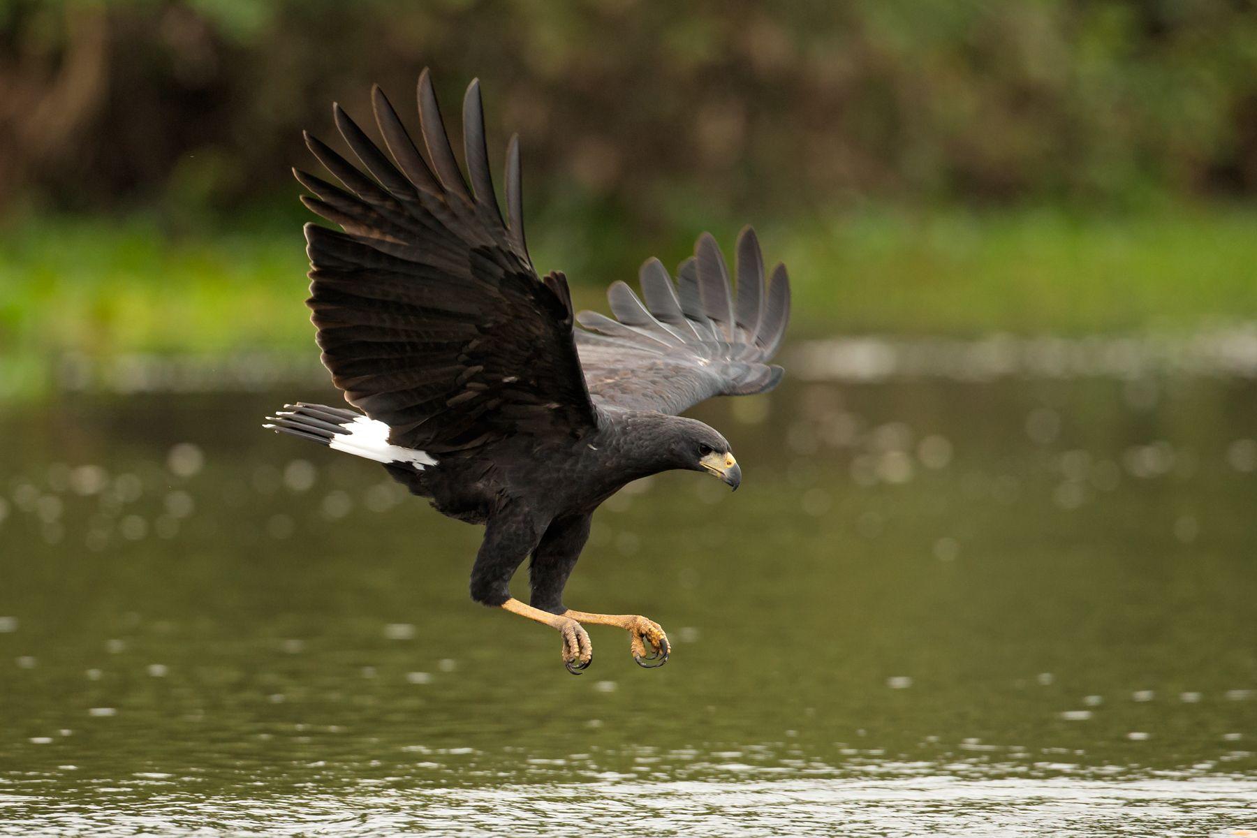 A Great Black Hawk swoops down to capture aquatic prey