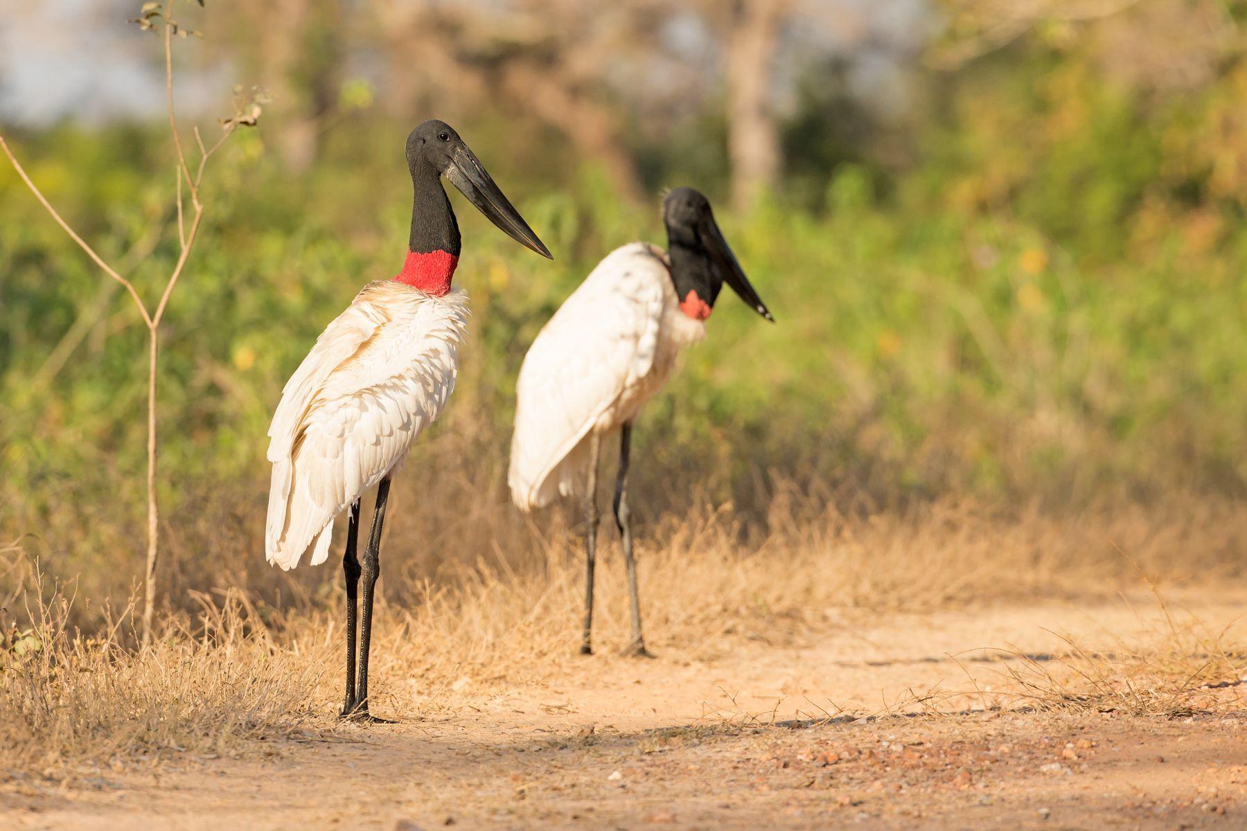 The huge Jabiru stork stands as tall as a man