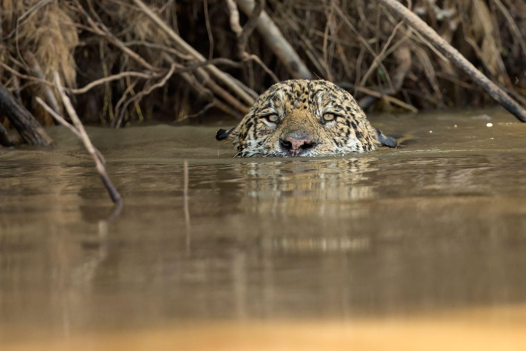 A Jaguar swims across a channel