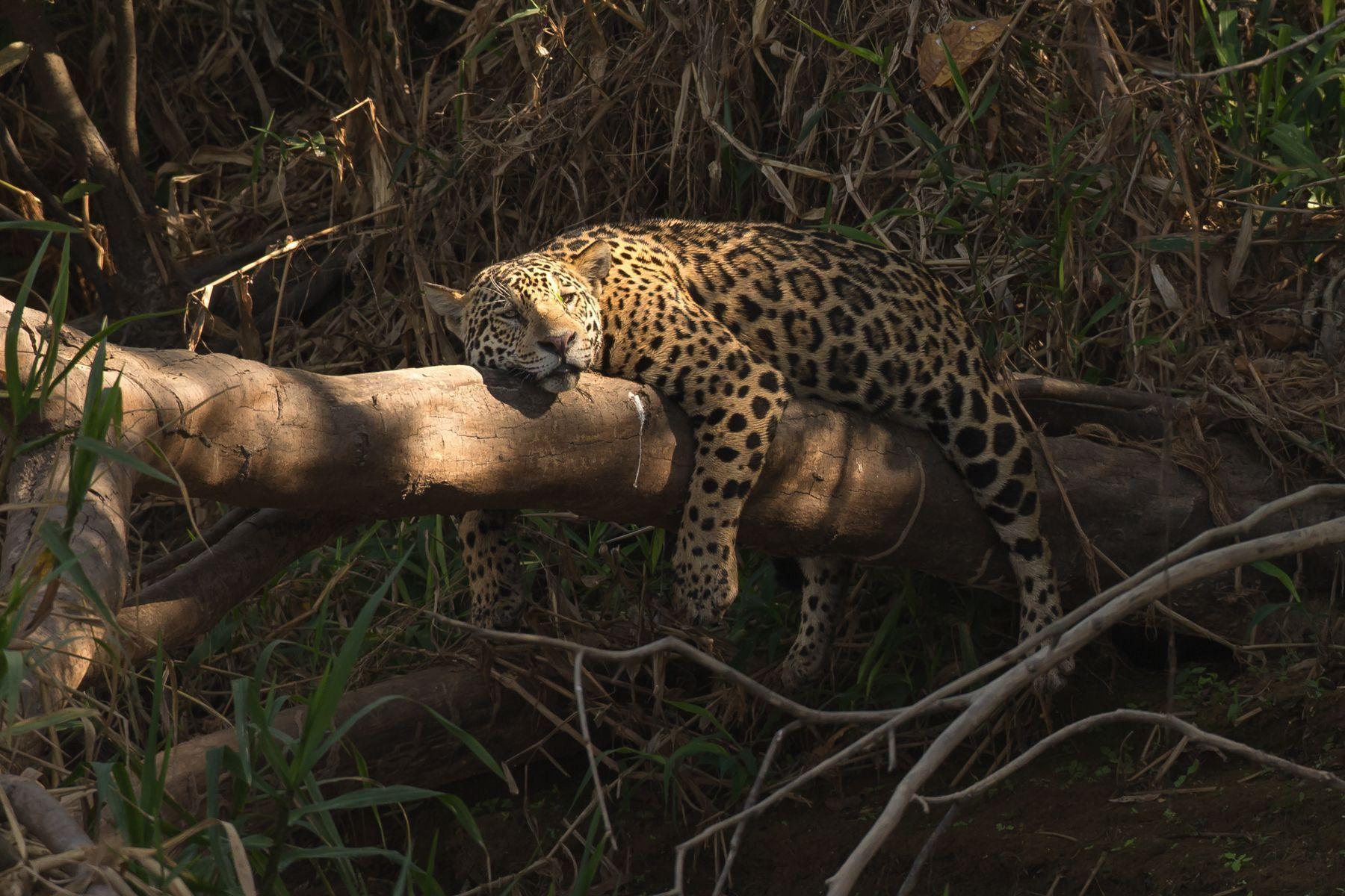 Rays of sunshine illuminate a Jaguar sleeping on a log