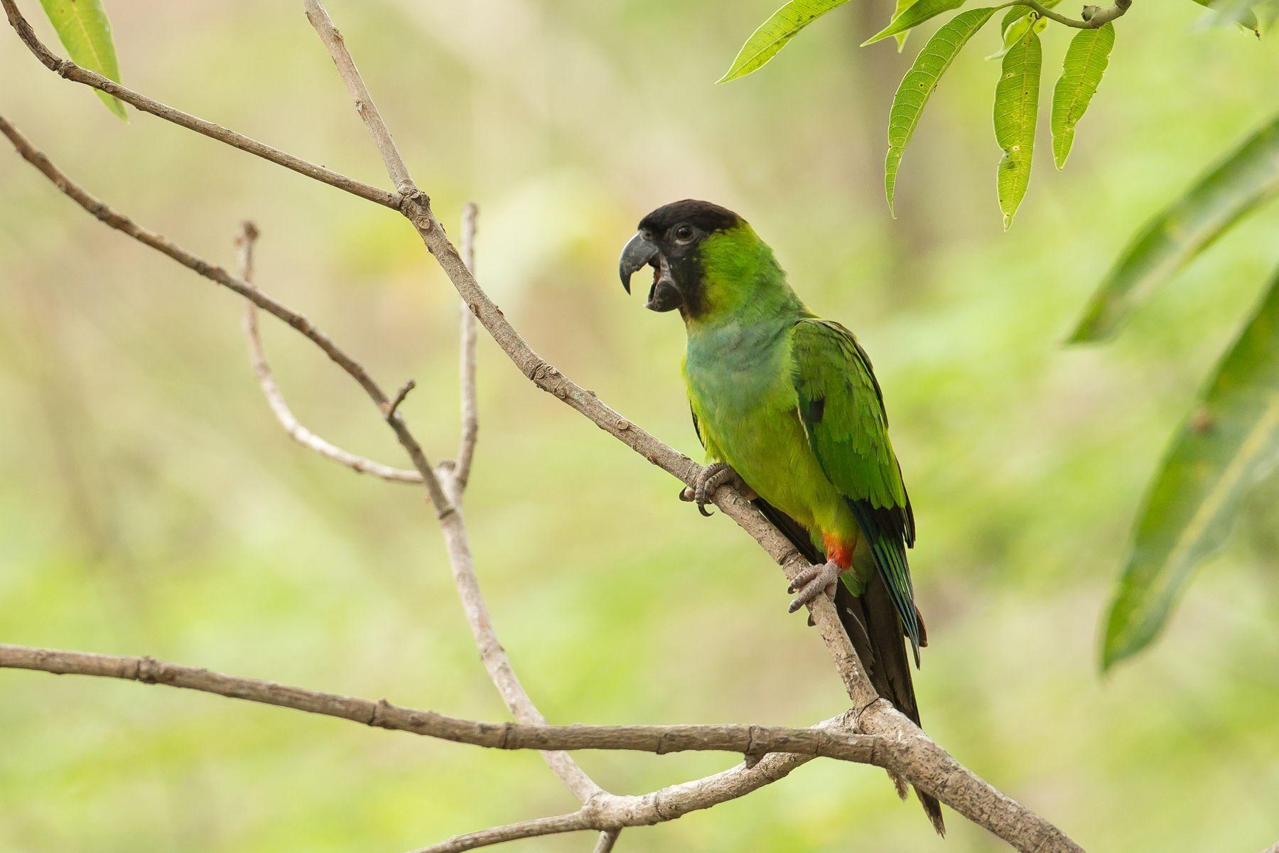 A Nanday Parakeet calls to its flock-mates