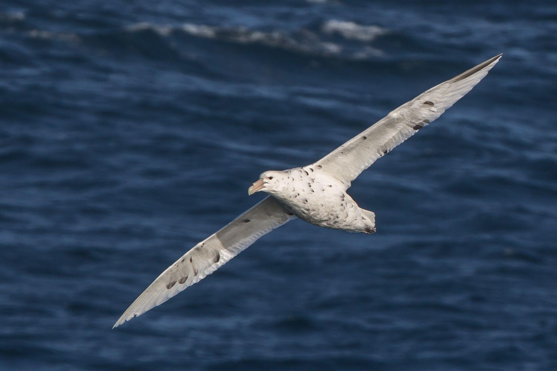 White morph Southern Giant Petrel