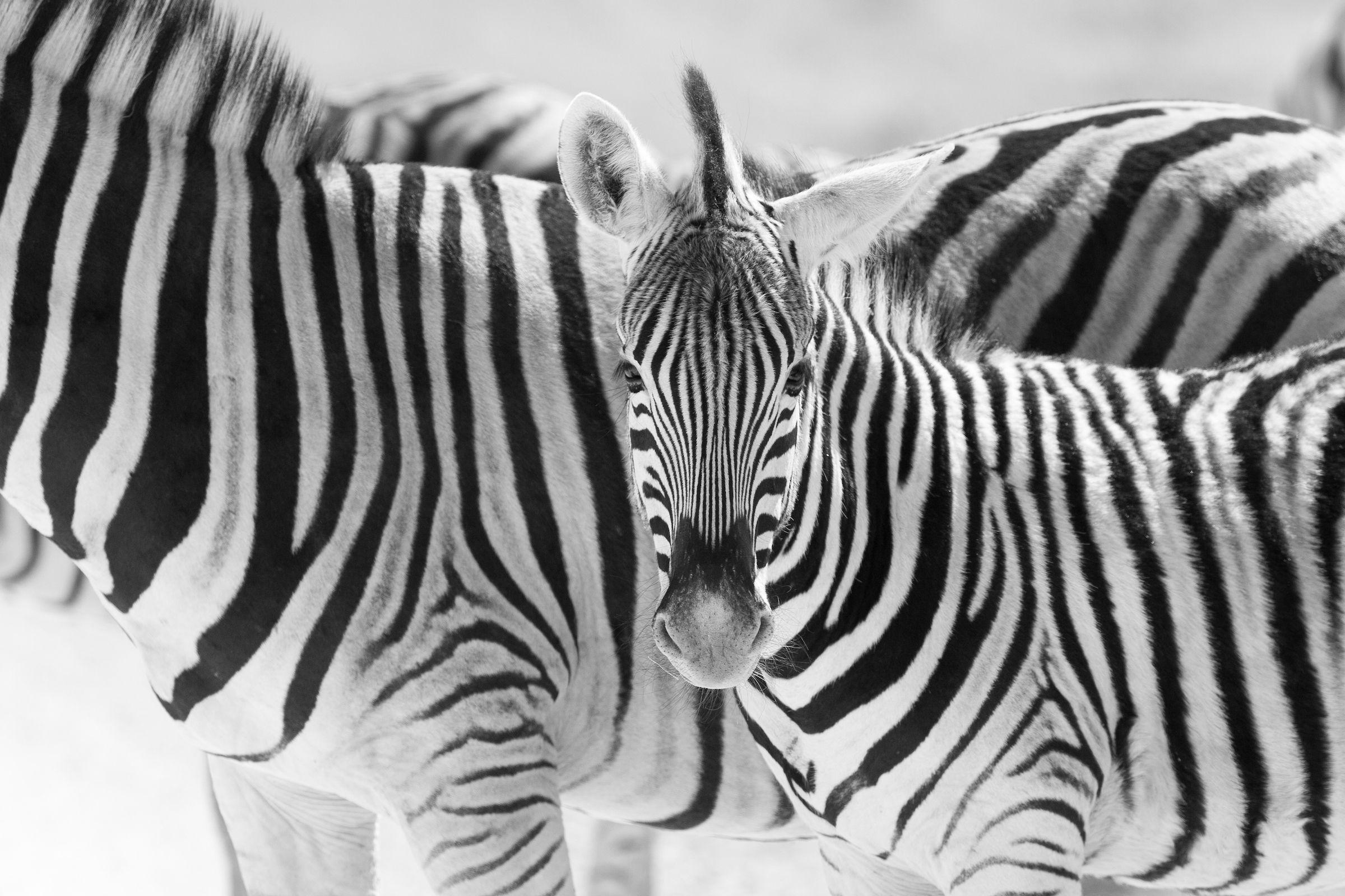 Burchell's Zebras in Etosha