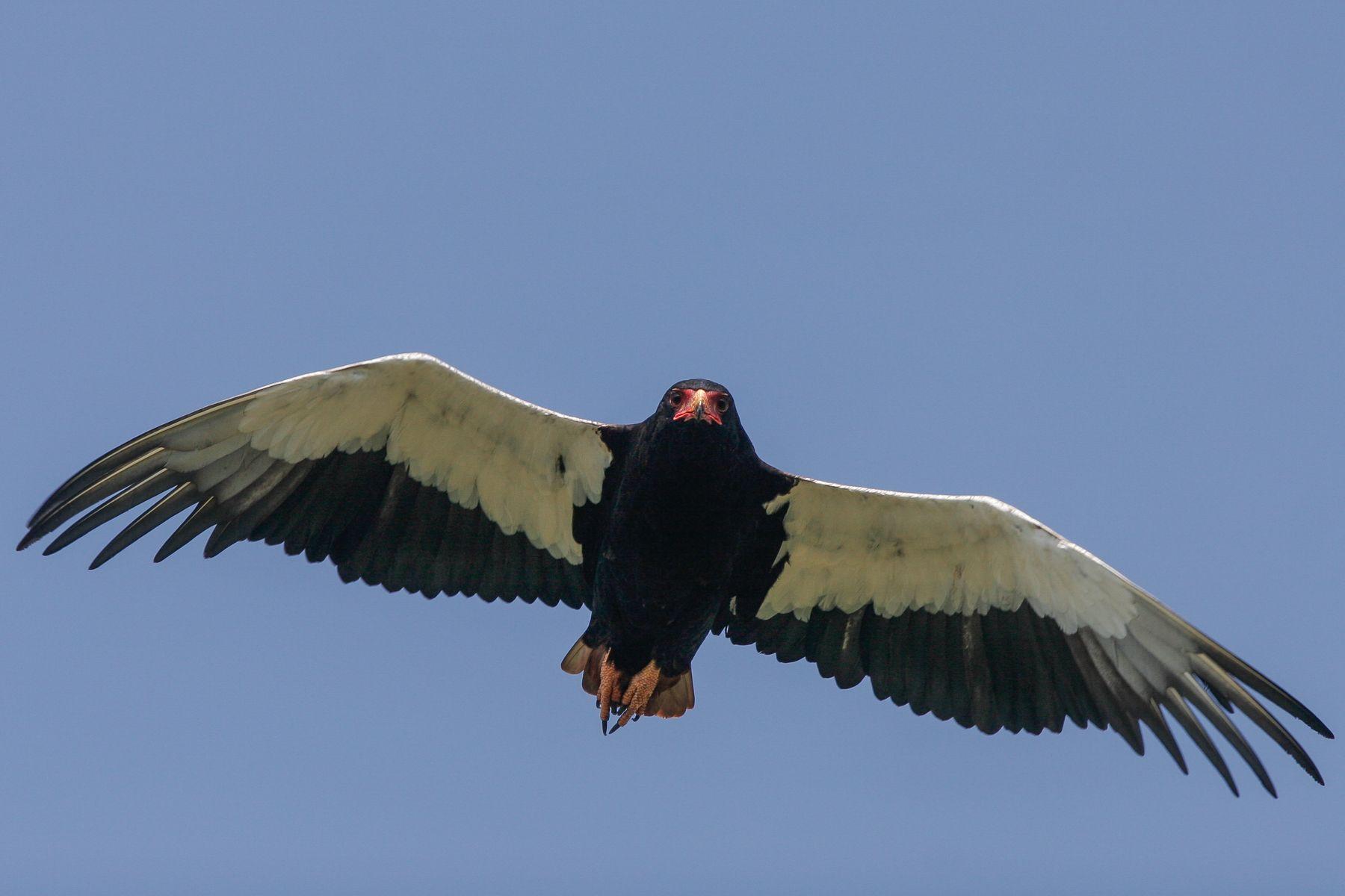 A Bateleur patrols overhead