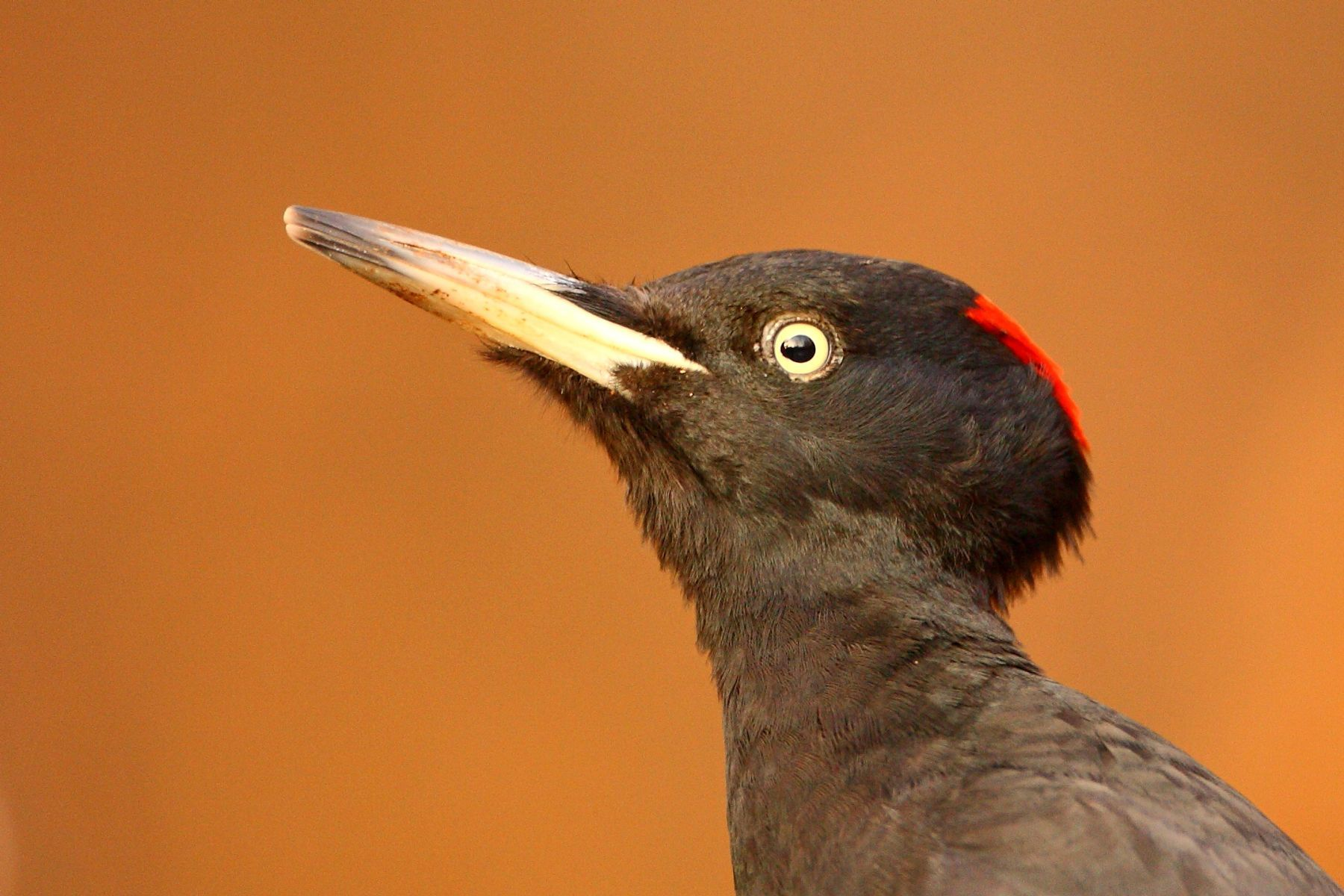 Black Woodpecker portrait from Hungary