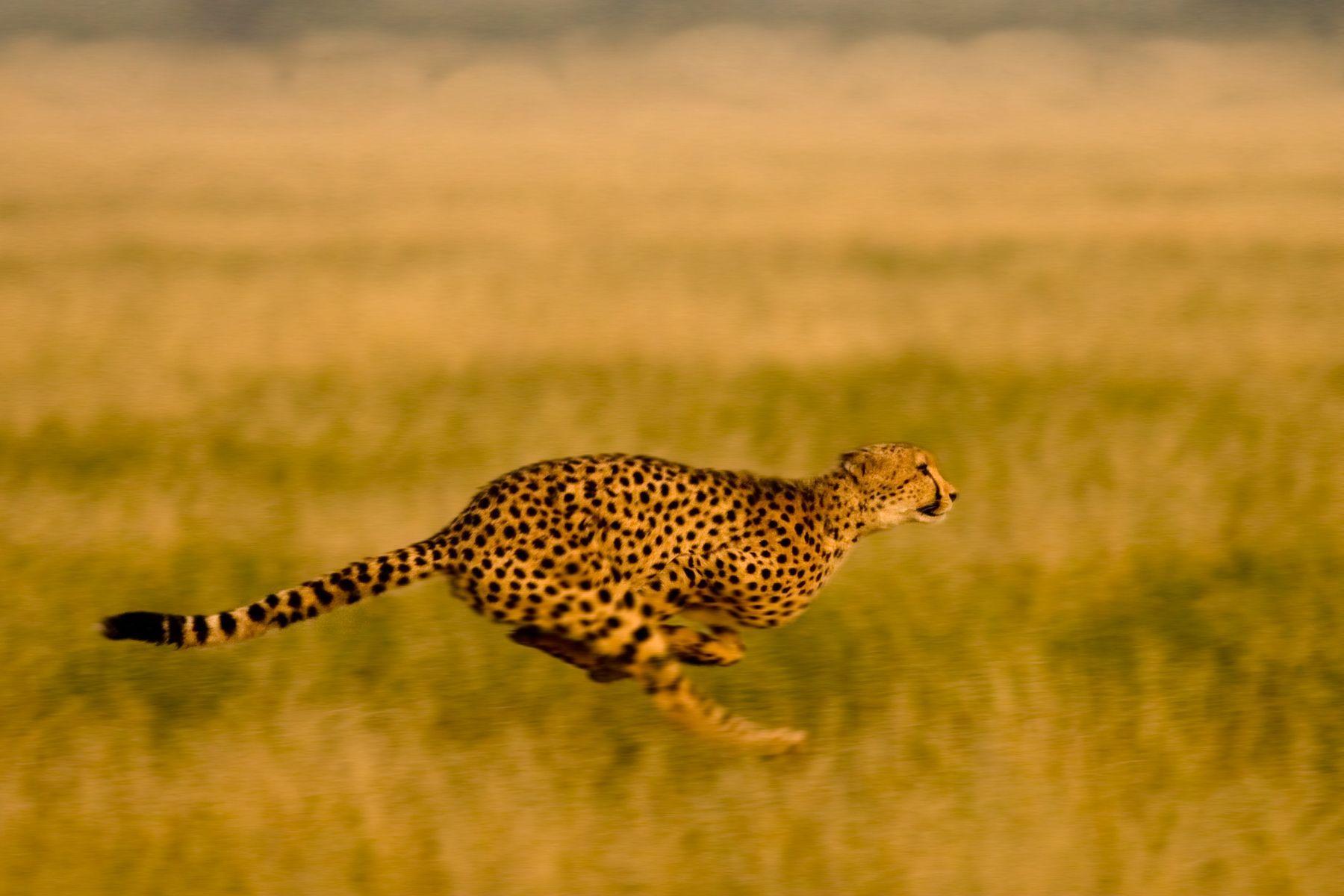 Cheetah motion blur by Grant Reid