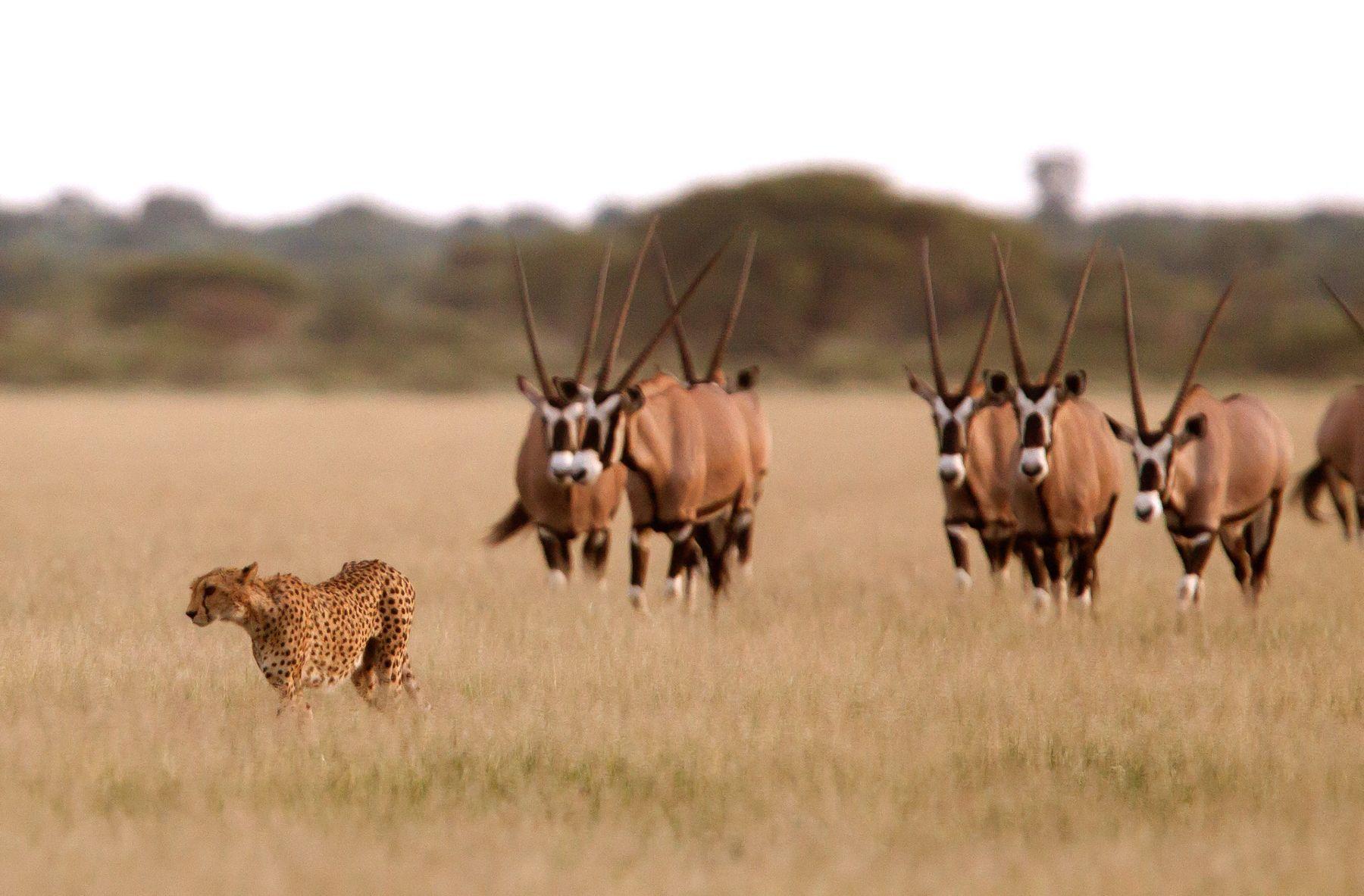 A Cheetah is followed by some Gemsboks in Botswana