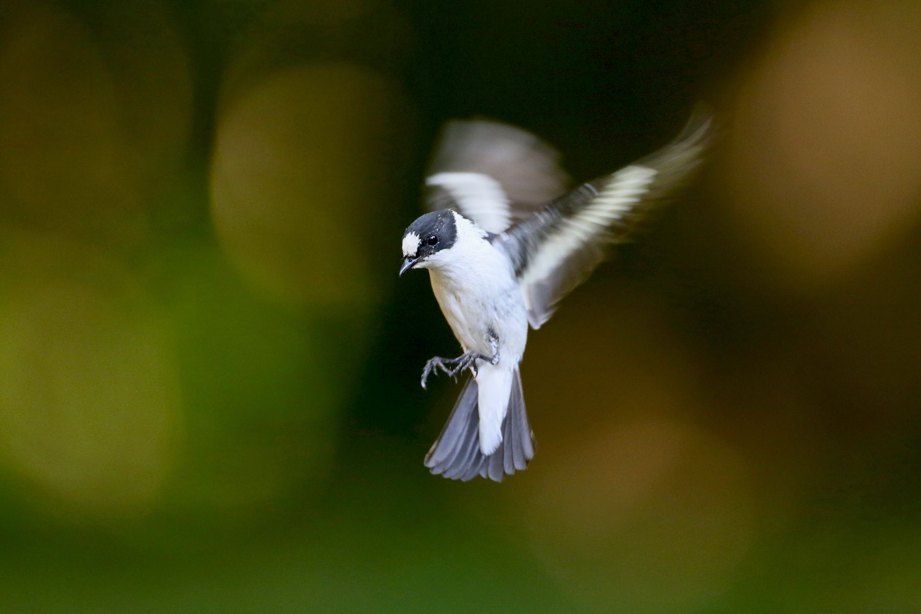 Collared Flycatcher is another classic for photography in Hungary
