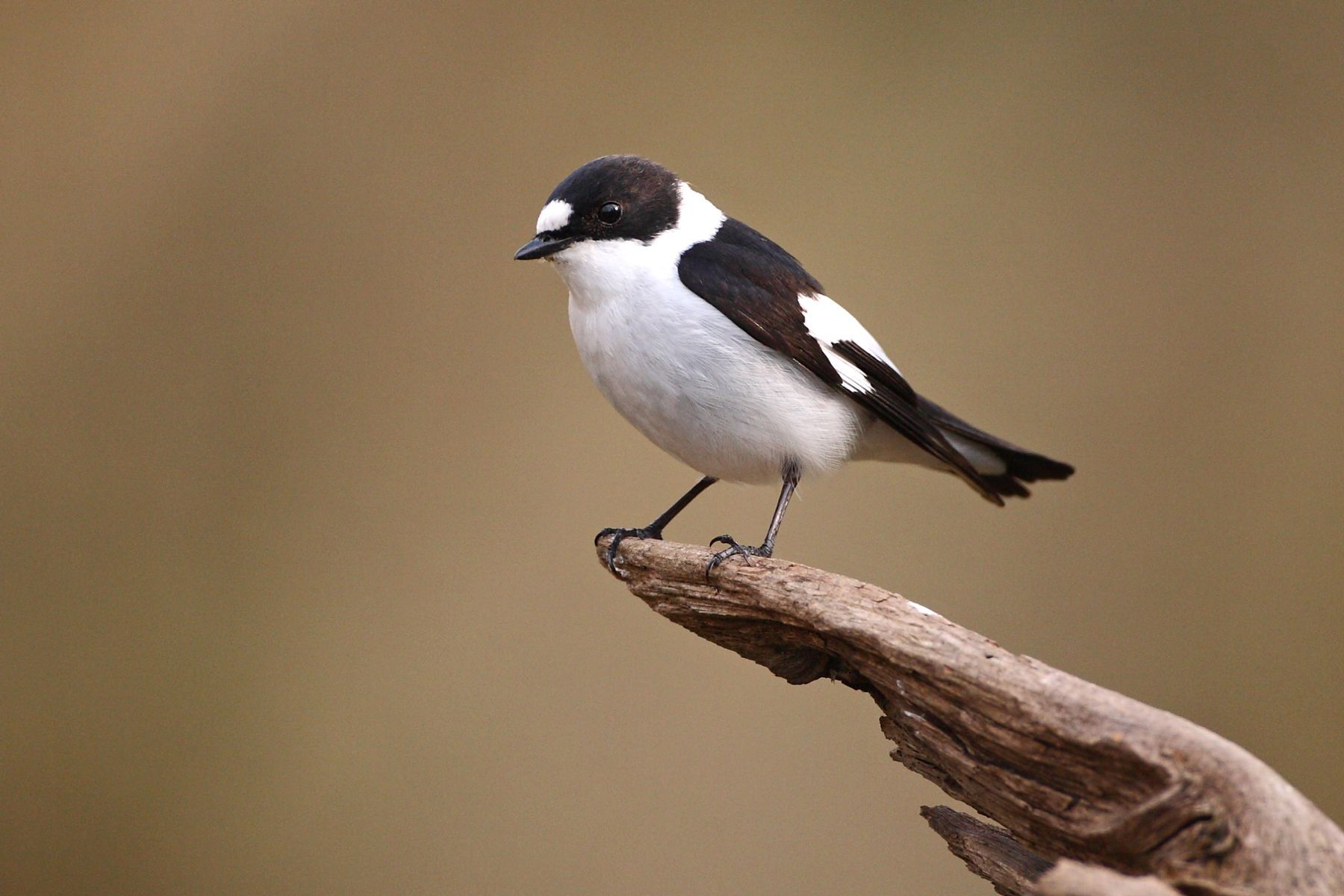 Collared Flycatcher is a bird photographer's classic species