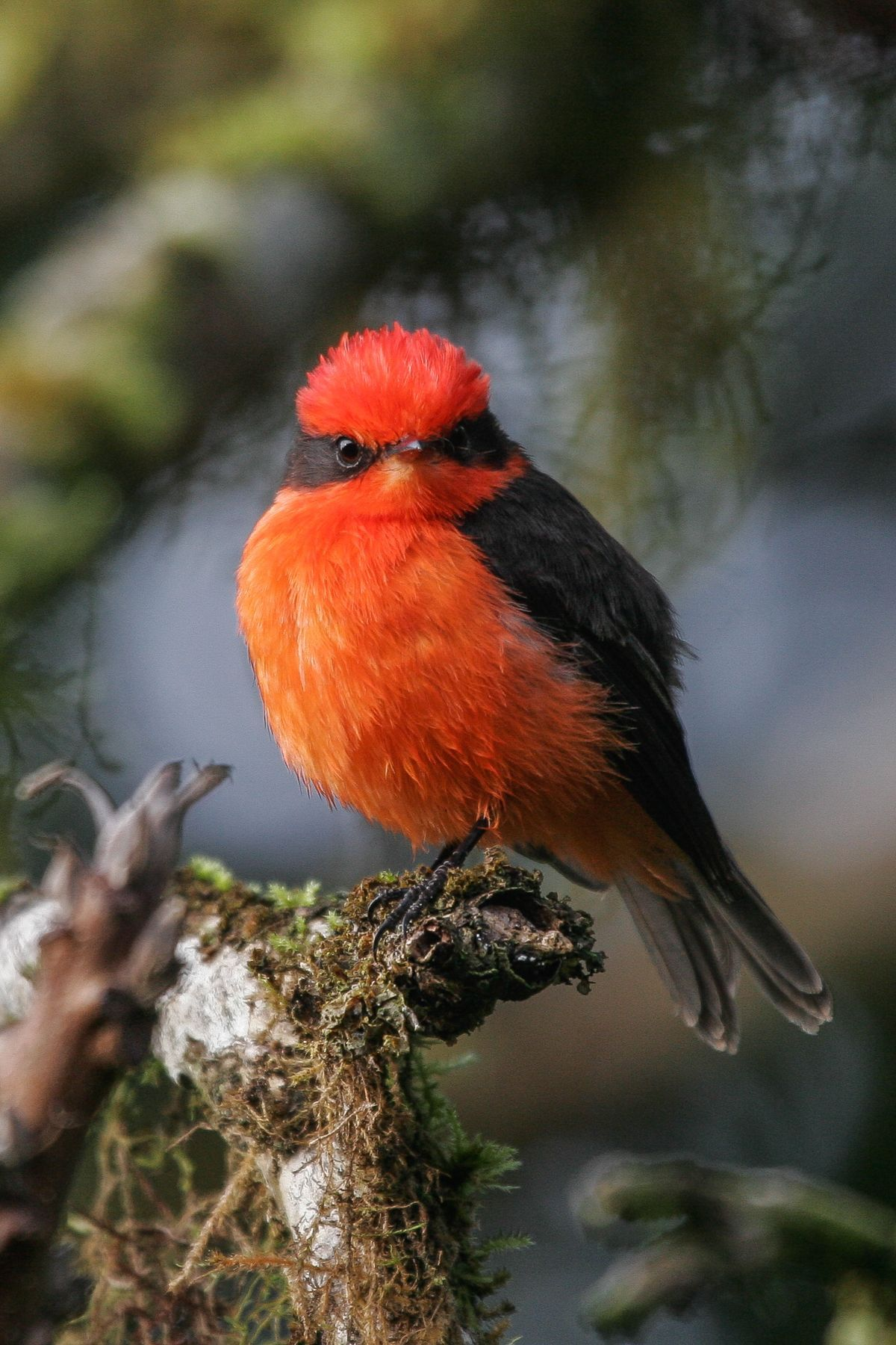 The lovely Darwin's Flycatcher