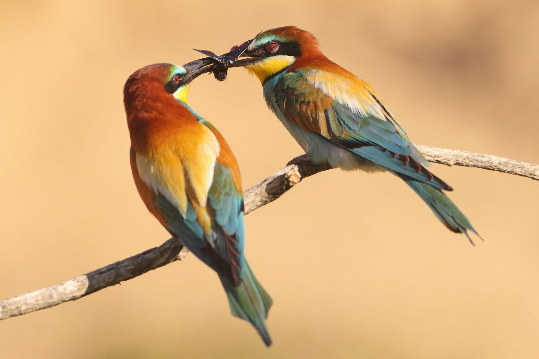 European Bee-eaters are a sought-after species on any Hungary bird photography tour
