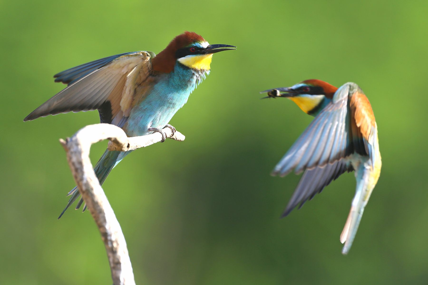 European Bee-eaters can be photographed in Hungary just metres away