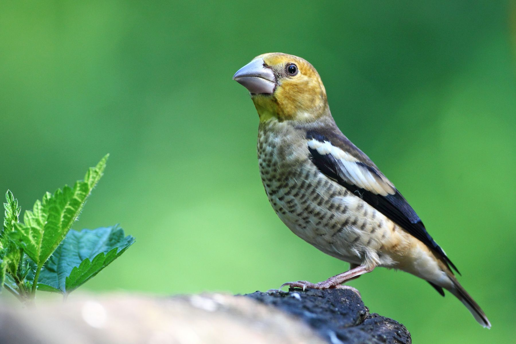 Juvernile Hawfinch portrait