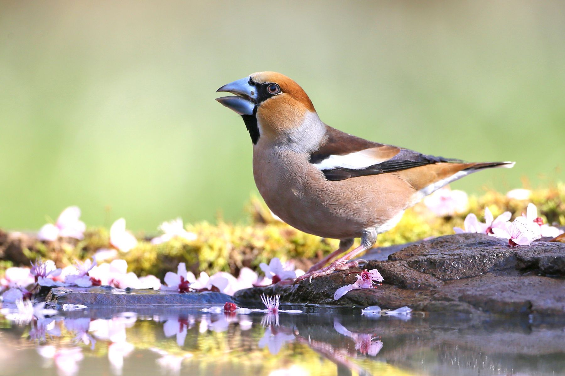 The impressive Hawfinch