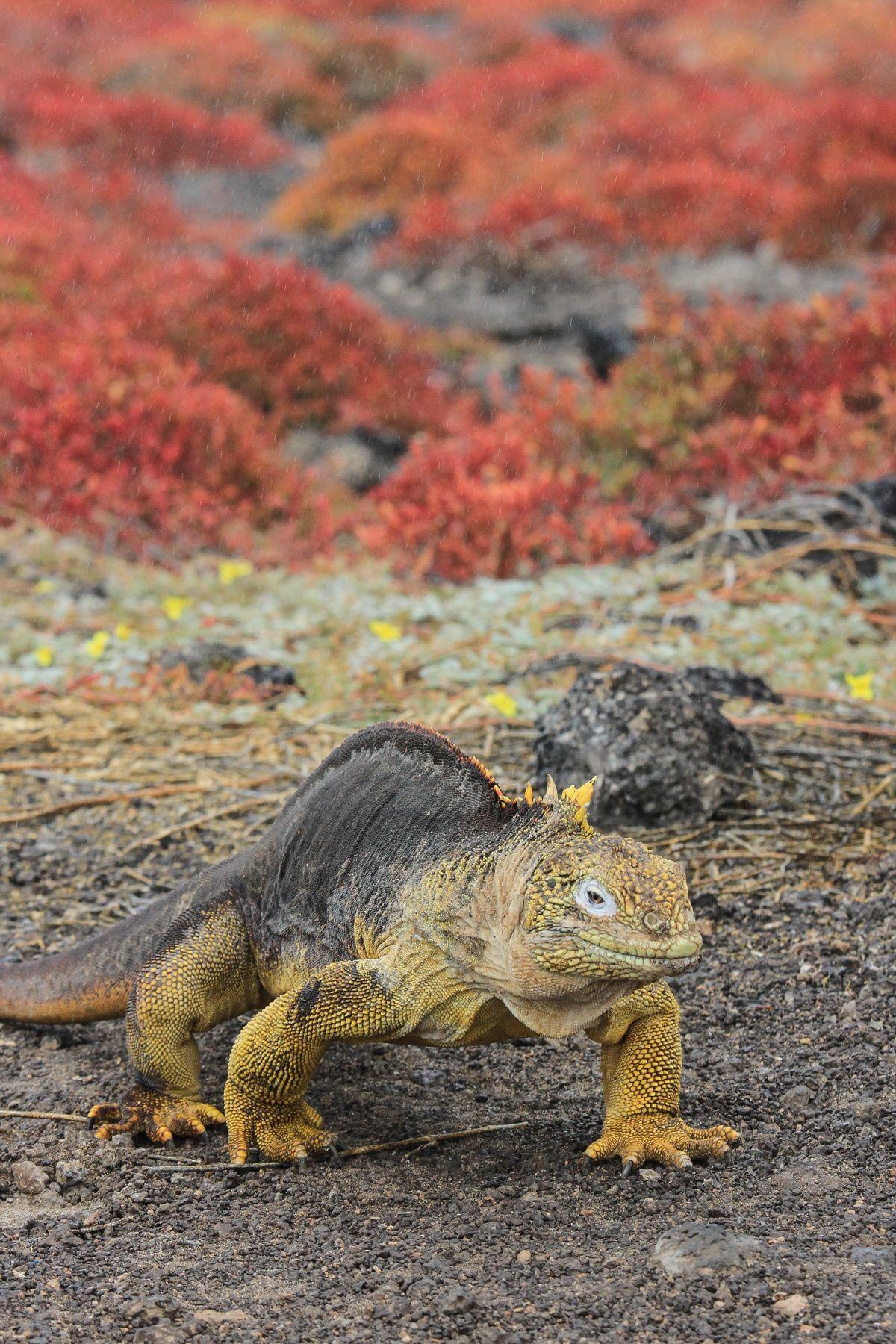 A Land Iguana wanders past some remarkably red vegetation
