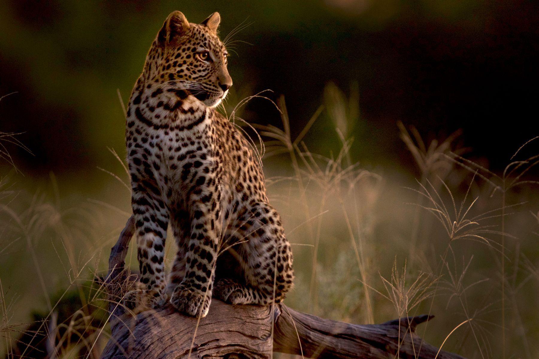 A Leopard at sunset at Khwai, Botswana