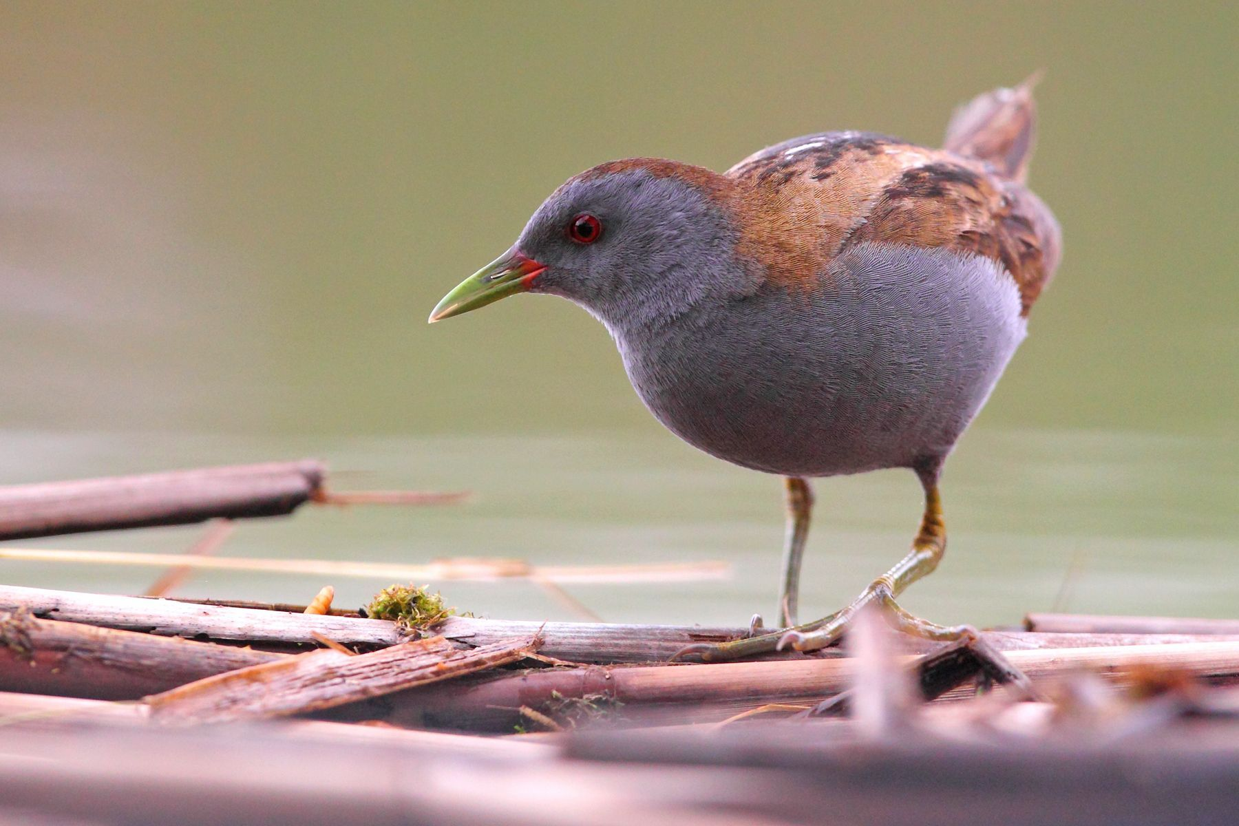 With luck a Little Crake will appear