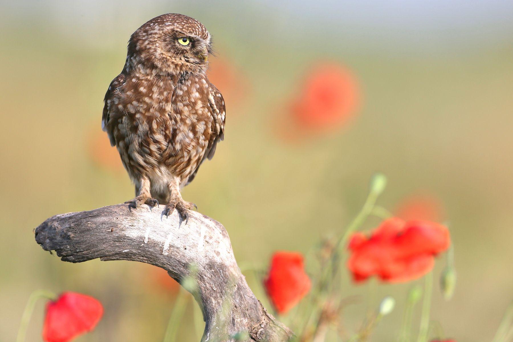 Little Owl in a Hungarian poppy field