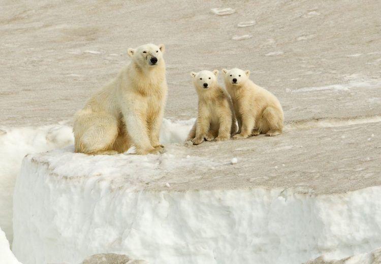 Polar Bear family in Svalbard. The wildlife mega-star of the islands.