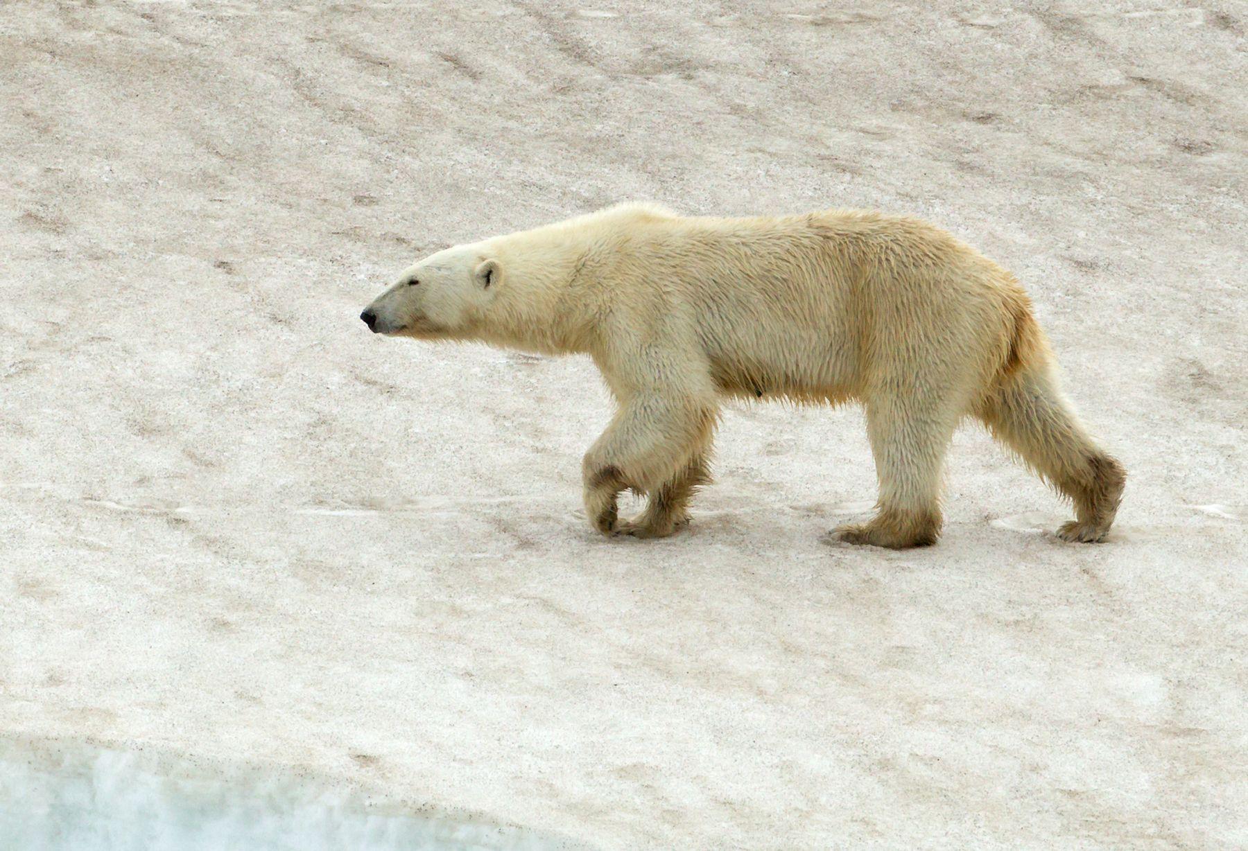 Wandering Polar Bear