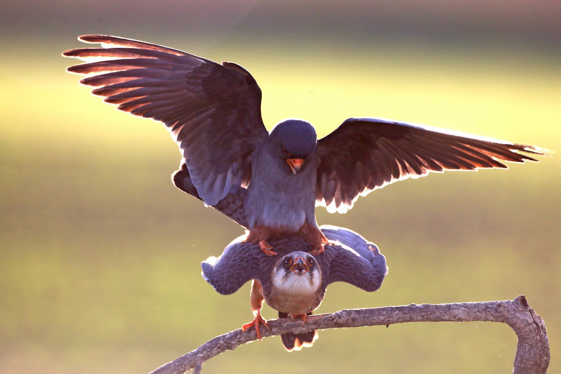 Mating Red-footed Falcons is another classic photography draw