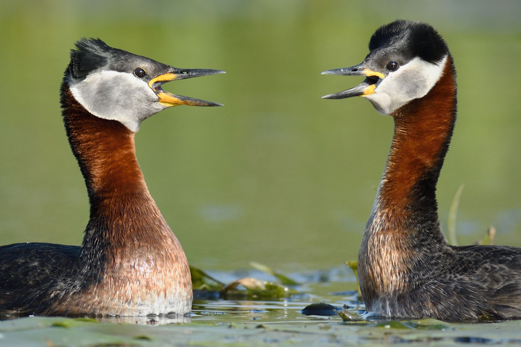 Red-necked Grebes in courtship display on the Danube Delta in Romania
