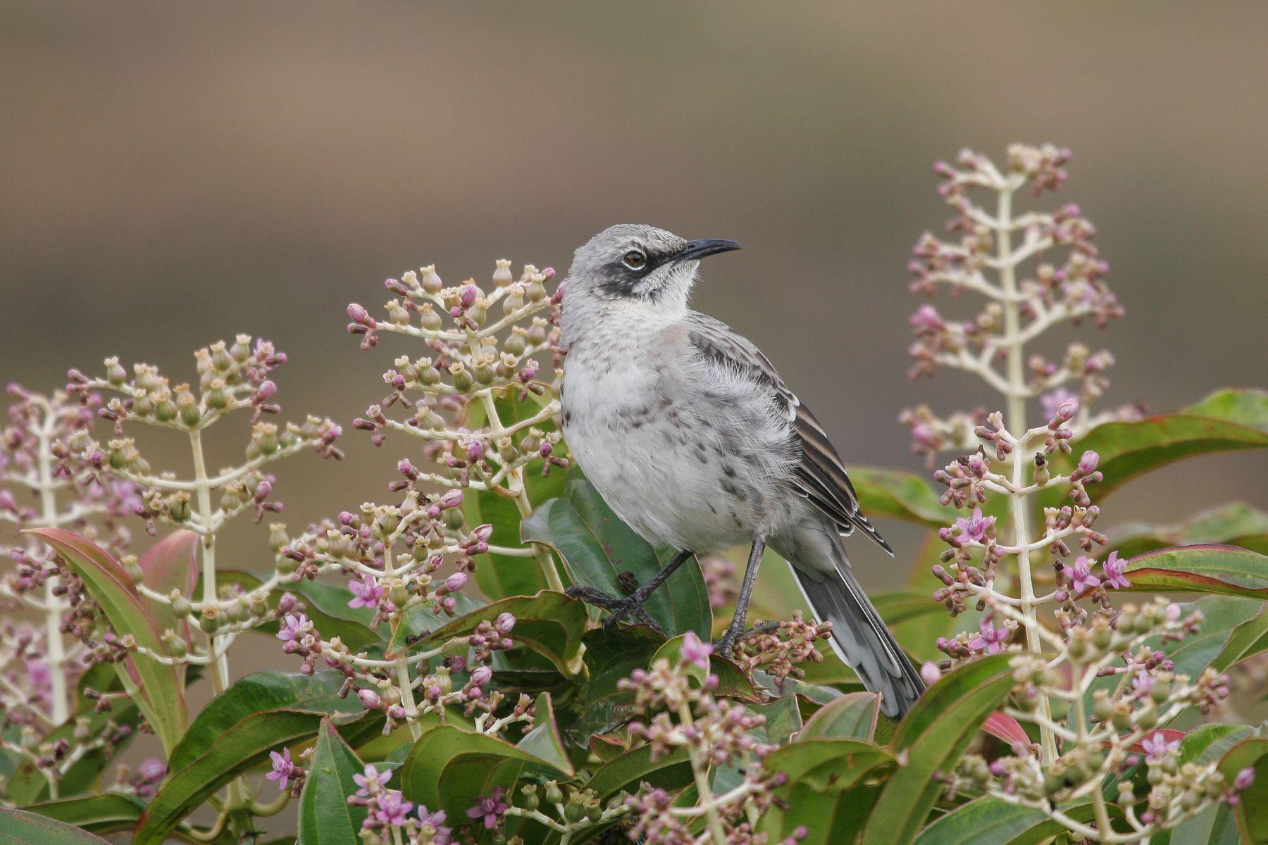 The uncommon San Cristobal Mockingbird