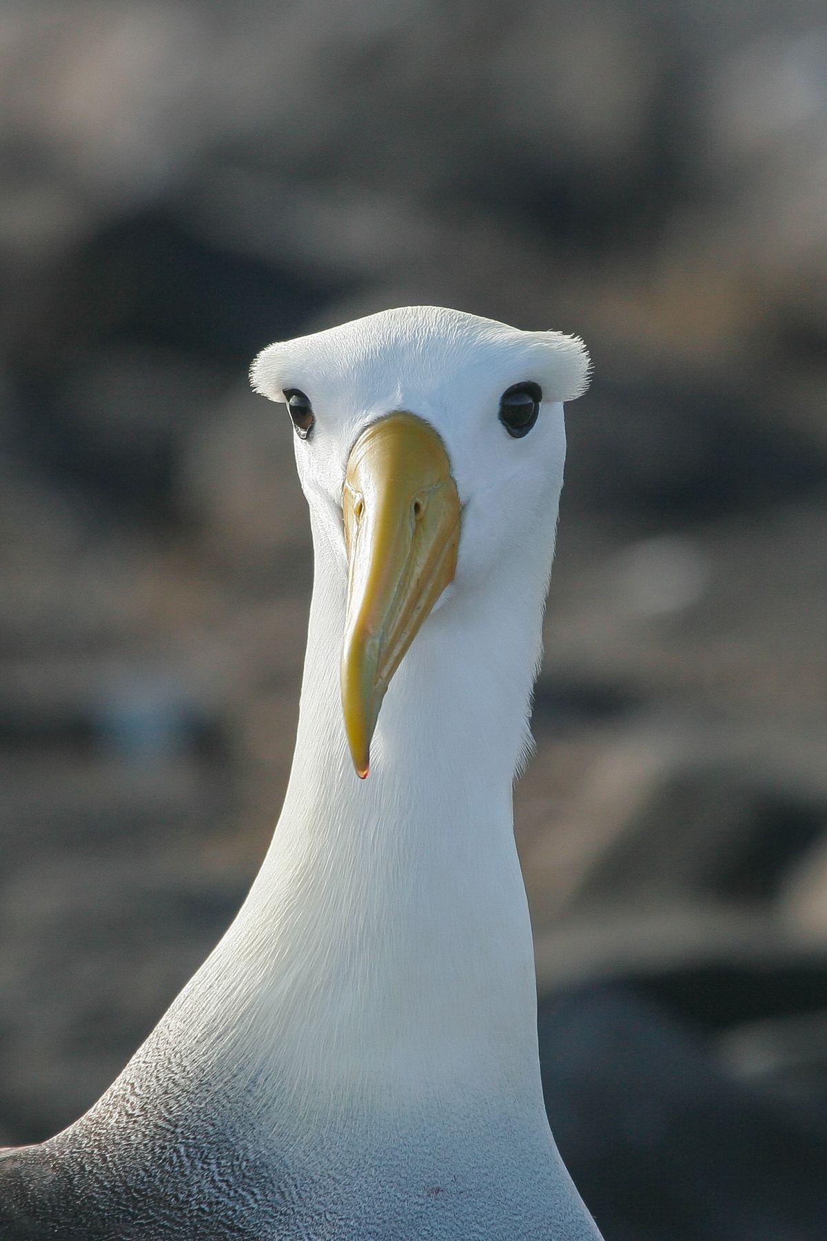 Waved Albatross head
